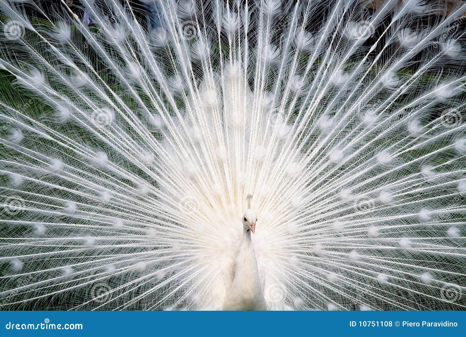 Pavone bianco fotografia stock. Immagine di angelo, becco - 10751108