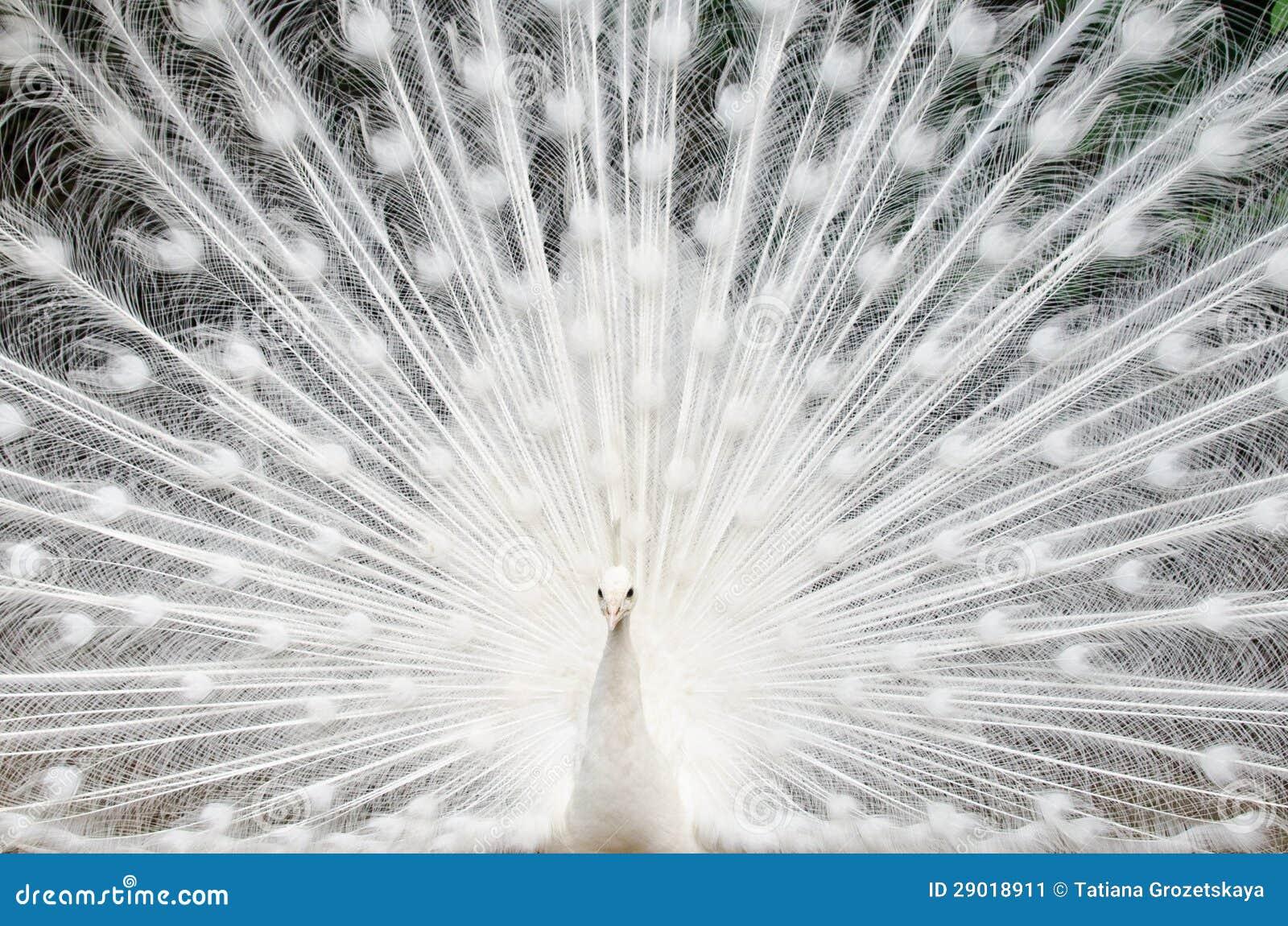 Pavone bianco con le piume fuori