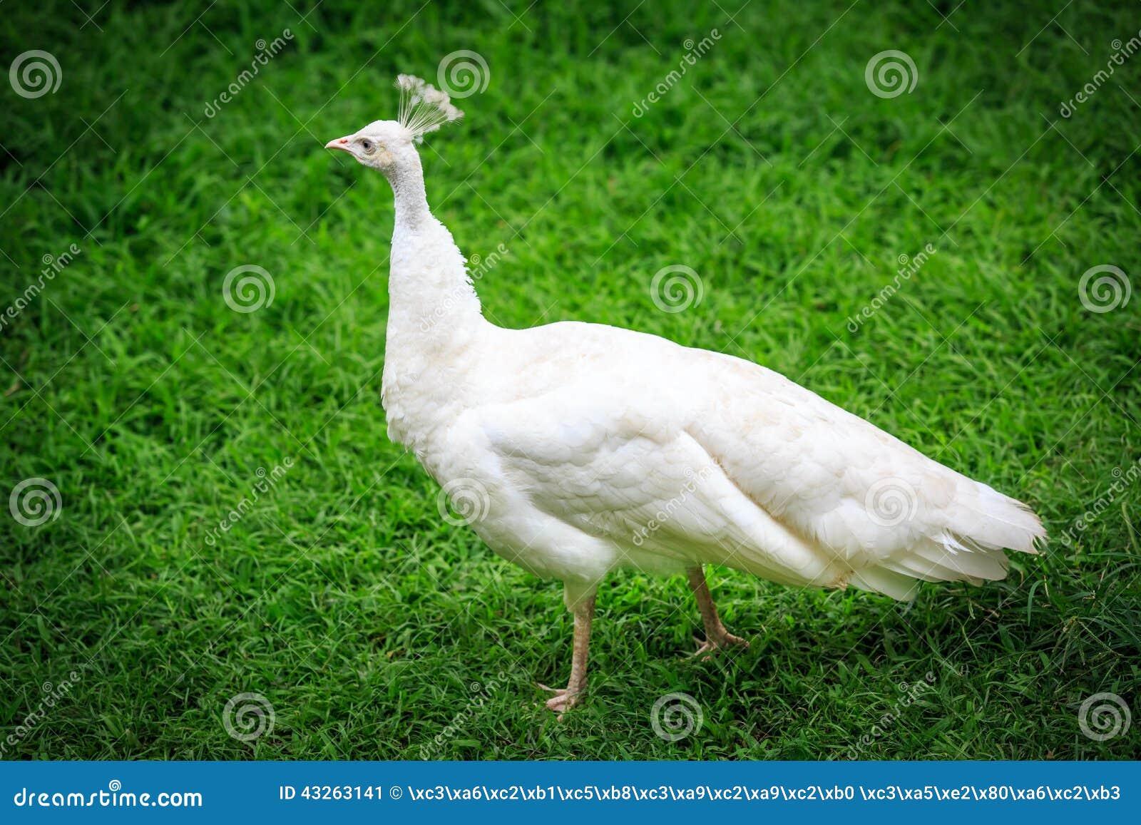 Pavone bianco su erba immagine stock. Immagine di uccello - 43263141