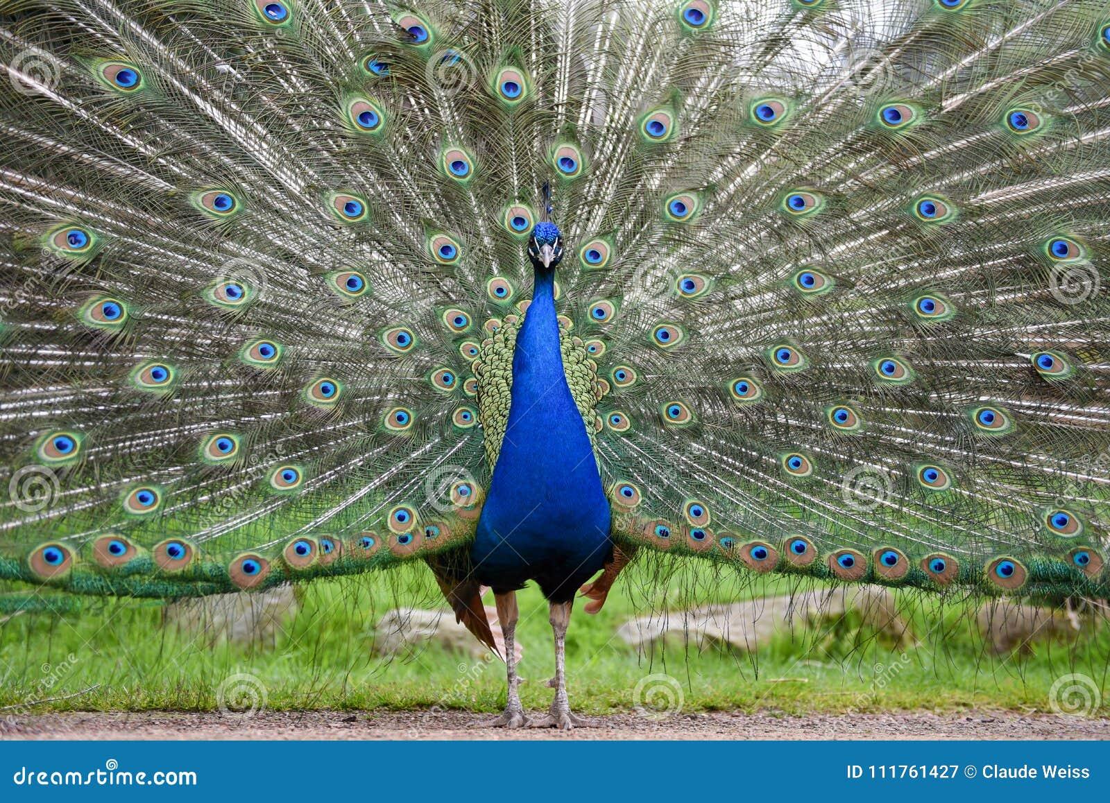 Pavone maschio fiero, pavone indiano che visualizza estese piume