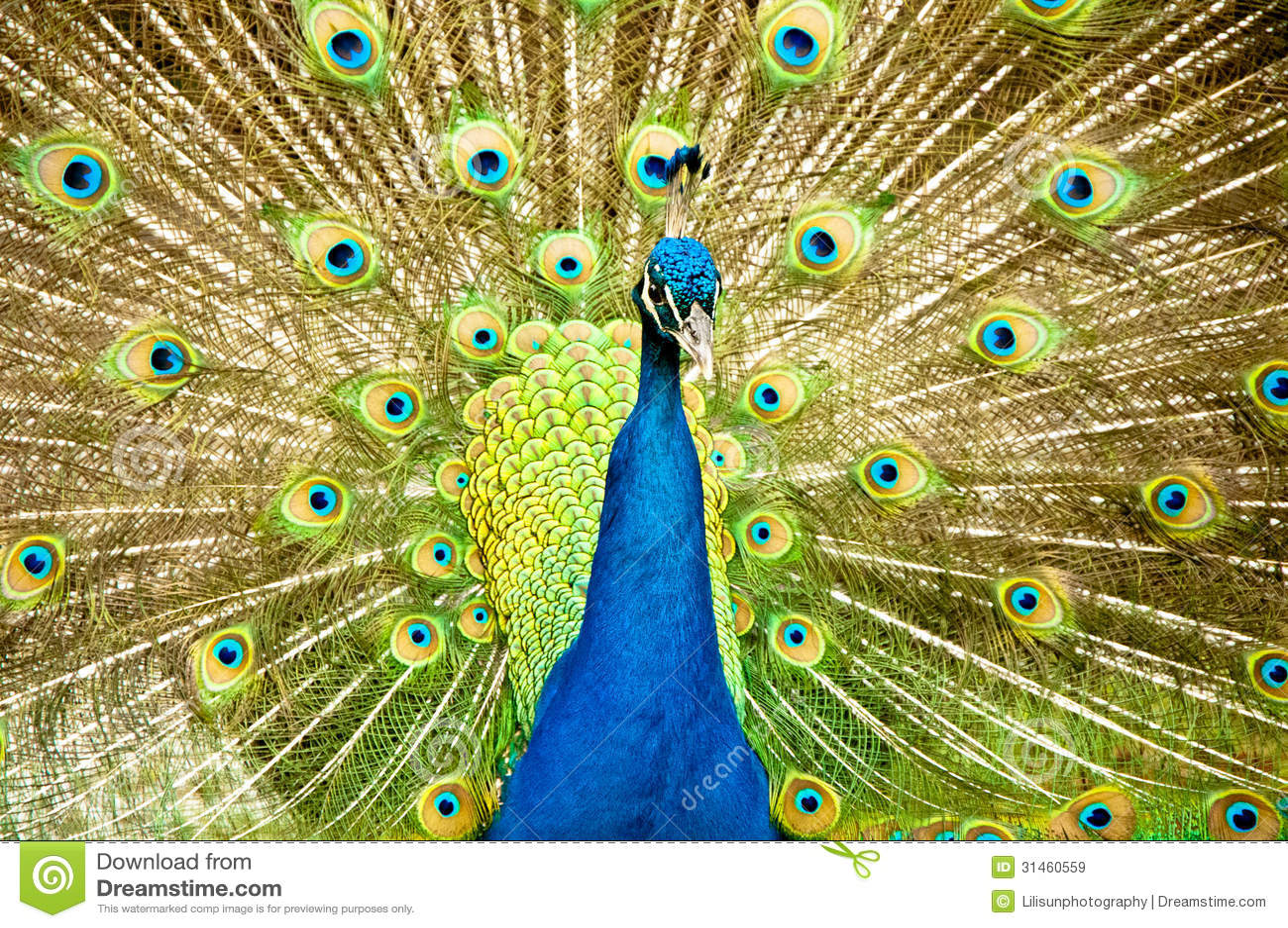 Pavone reale immagini stock libere da diritti immagine - Immagini pavone a colori ...