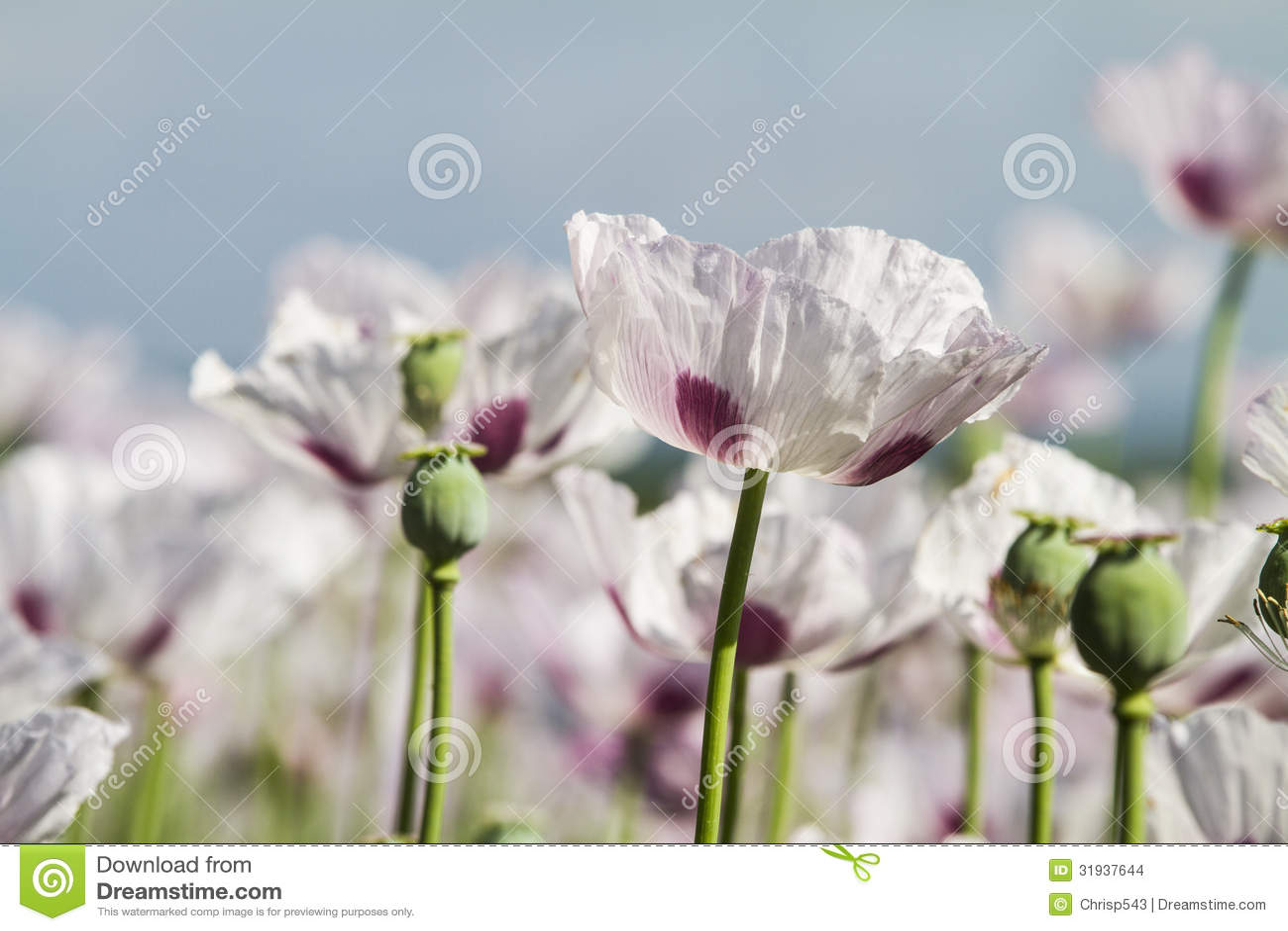 Pavot à opium, Papaver somniferum