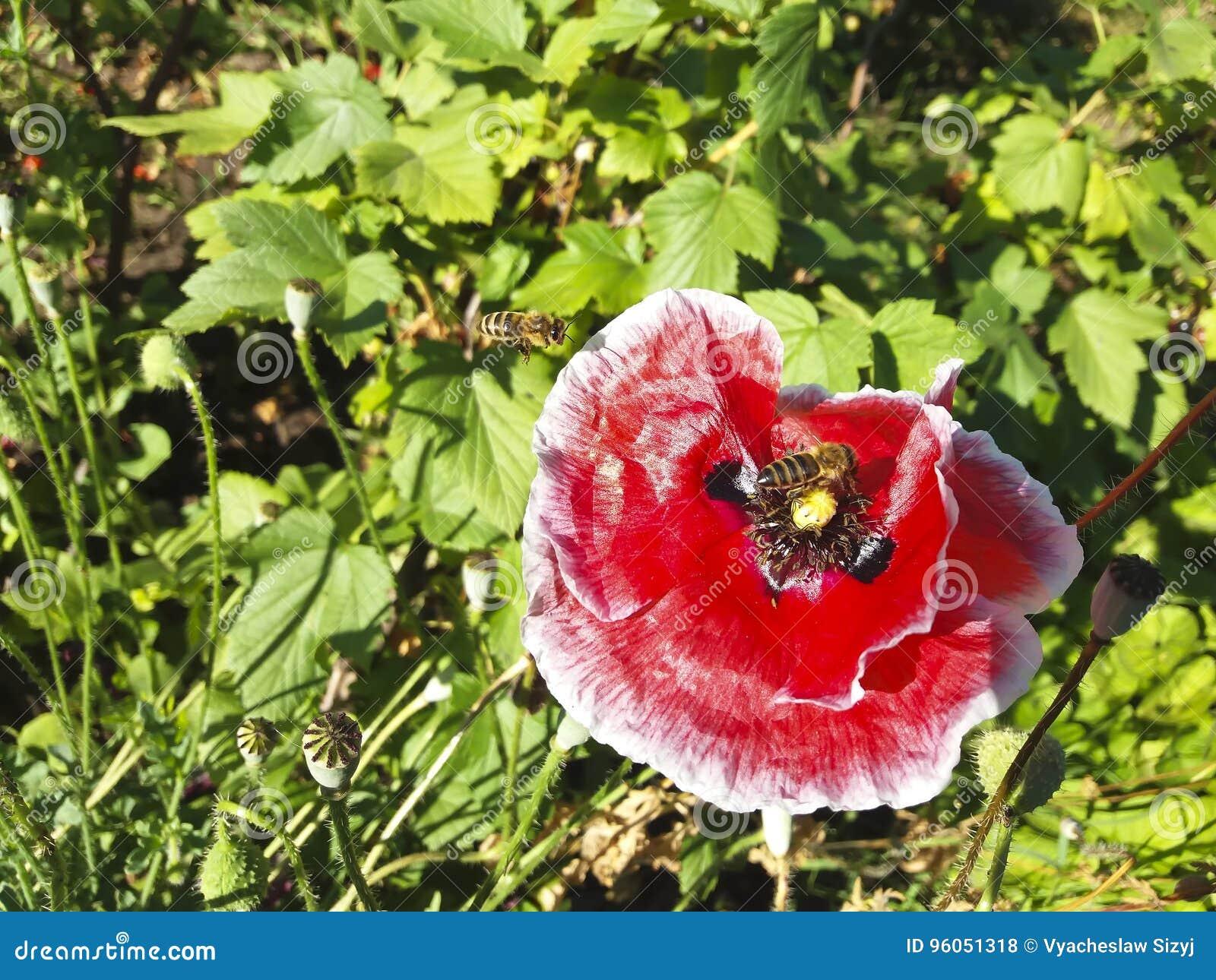Pavot décoratif rouge