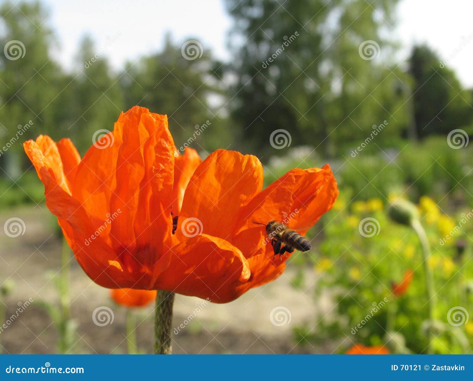 Pavot et l abeille.