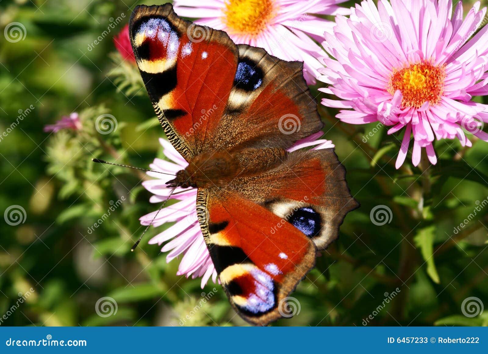 Paw motyla