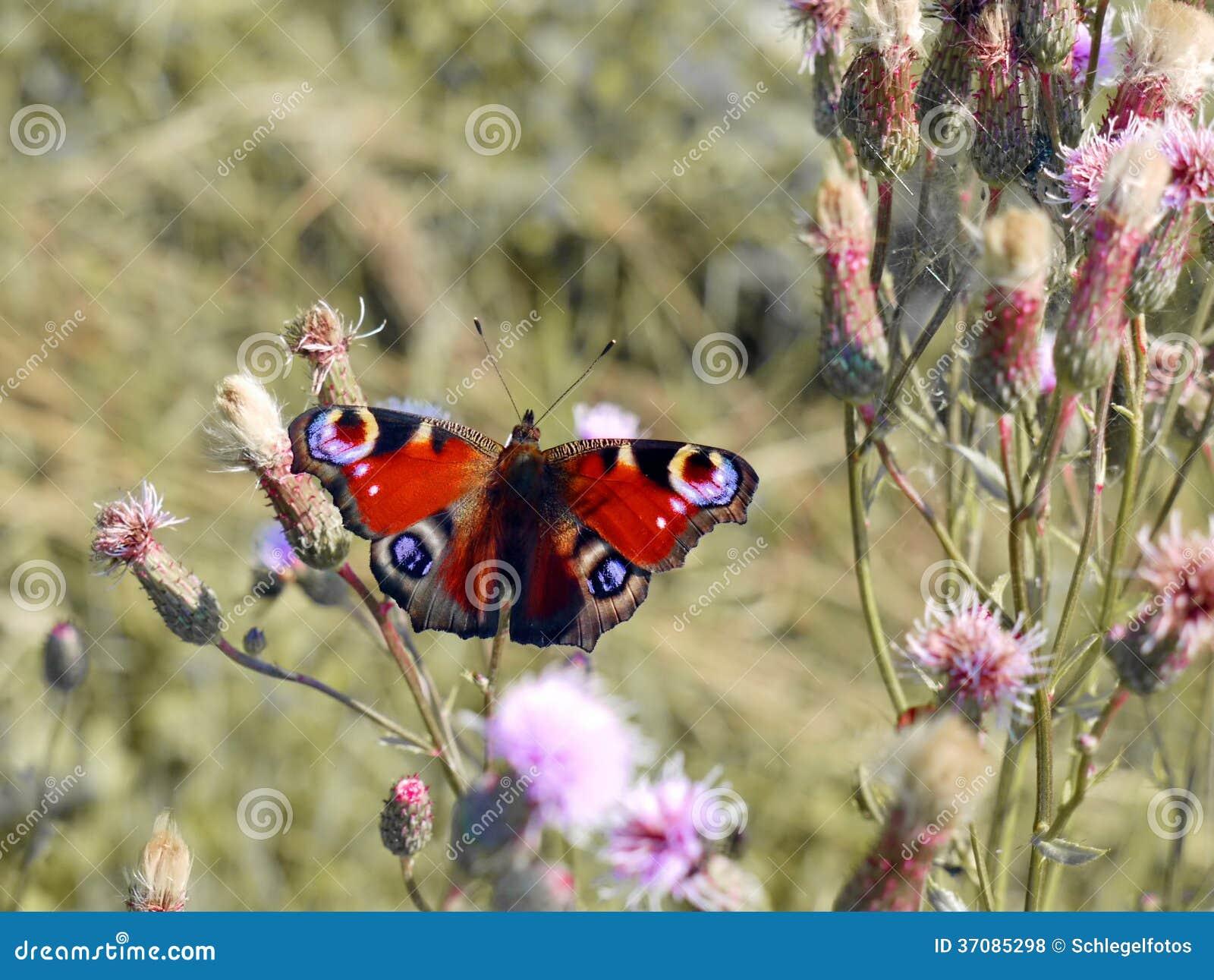 Download Pawi motyl w naturze zdjęcie stock. Obraz złożonej z roślina - 37085298
