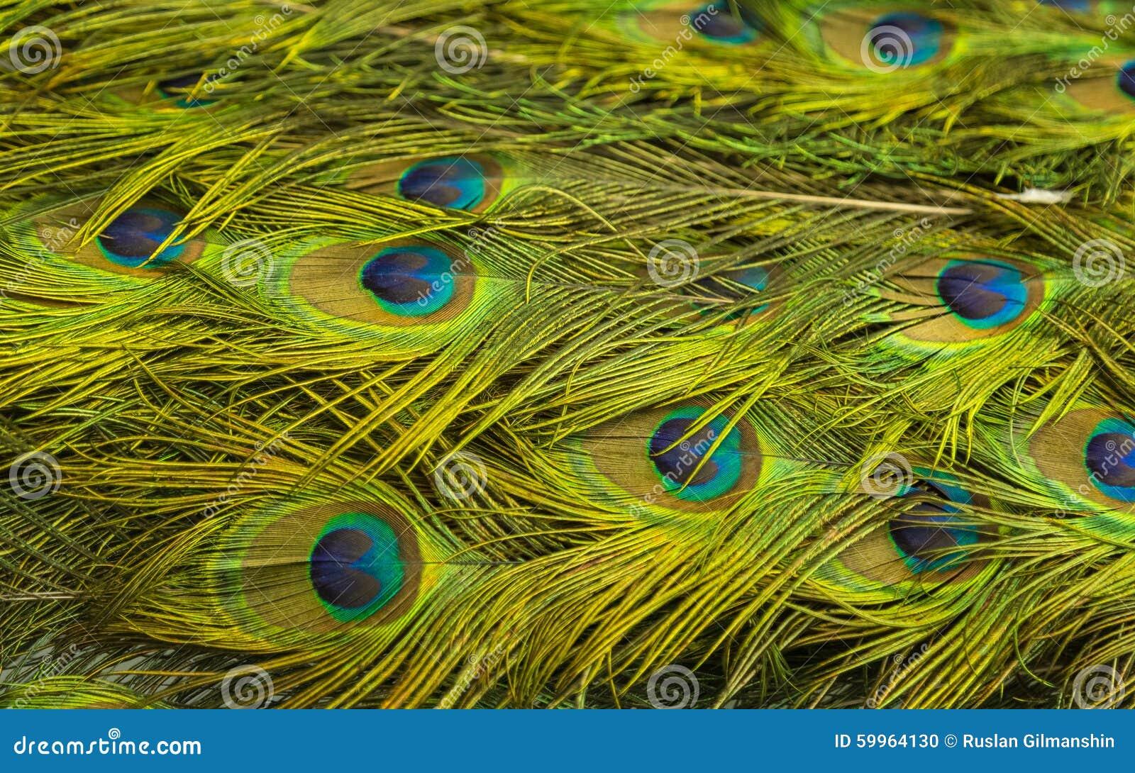 Pawia zielony i błękitny upierzenie w zakończeniu up