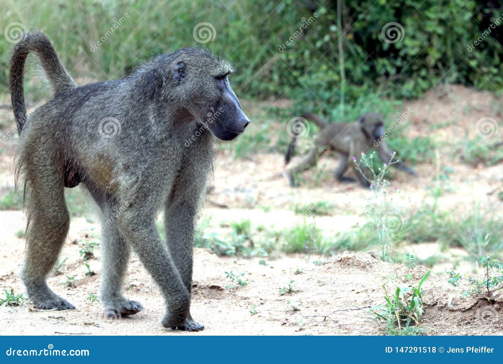 Pawian małpa z lisiątkiem