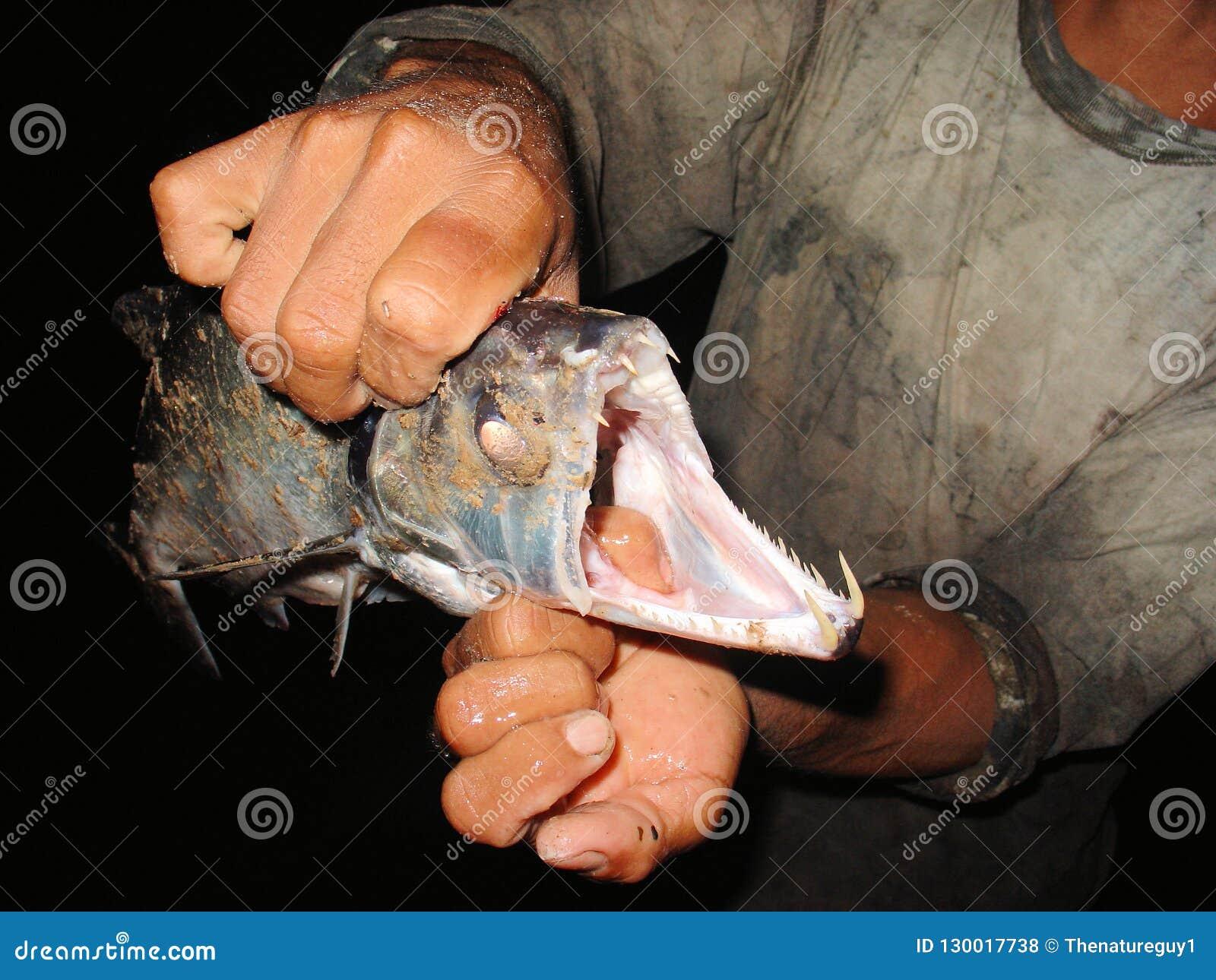 Payara, dente de cão Characin conhecido scientifically como scomberoides de Hydrolycus, é um tipo de peixes do jogo Encontra-se a