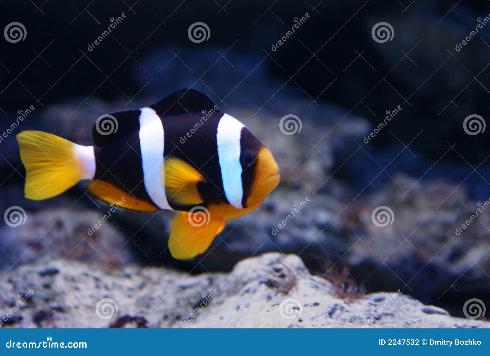 Payaso de los pescados