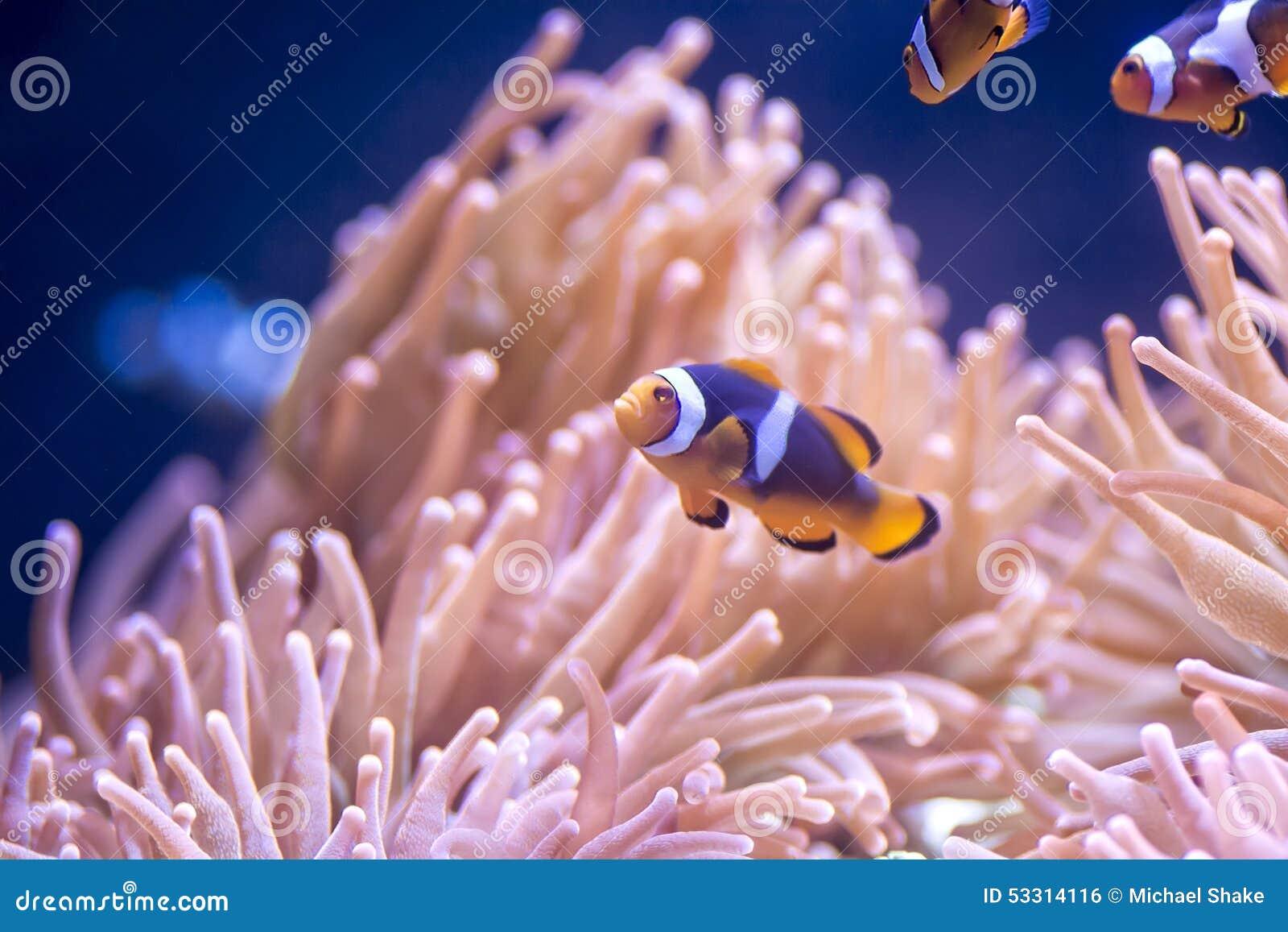 Payaso Fish