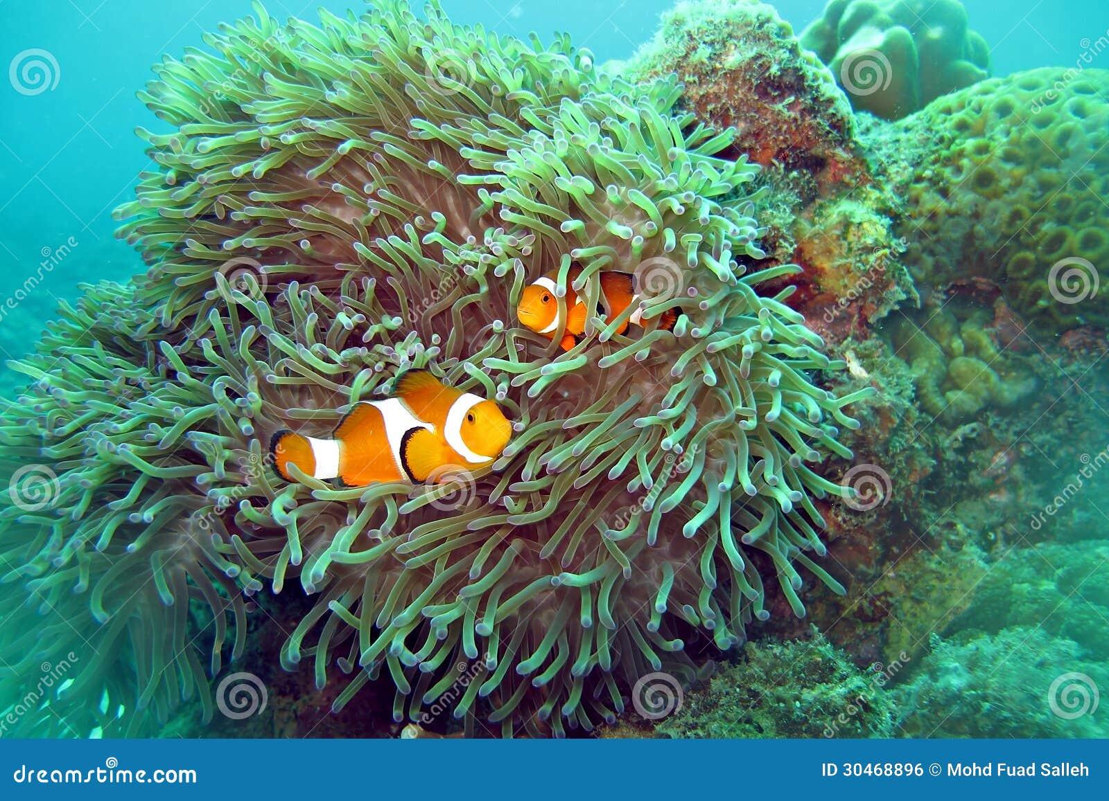 Payaso Fish Nemo