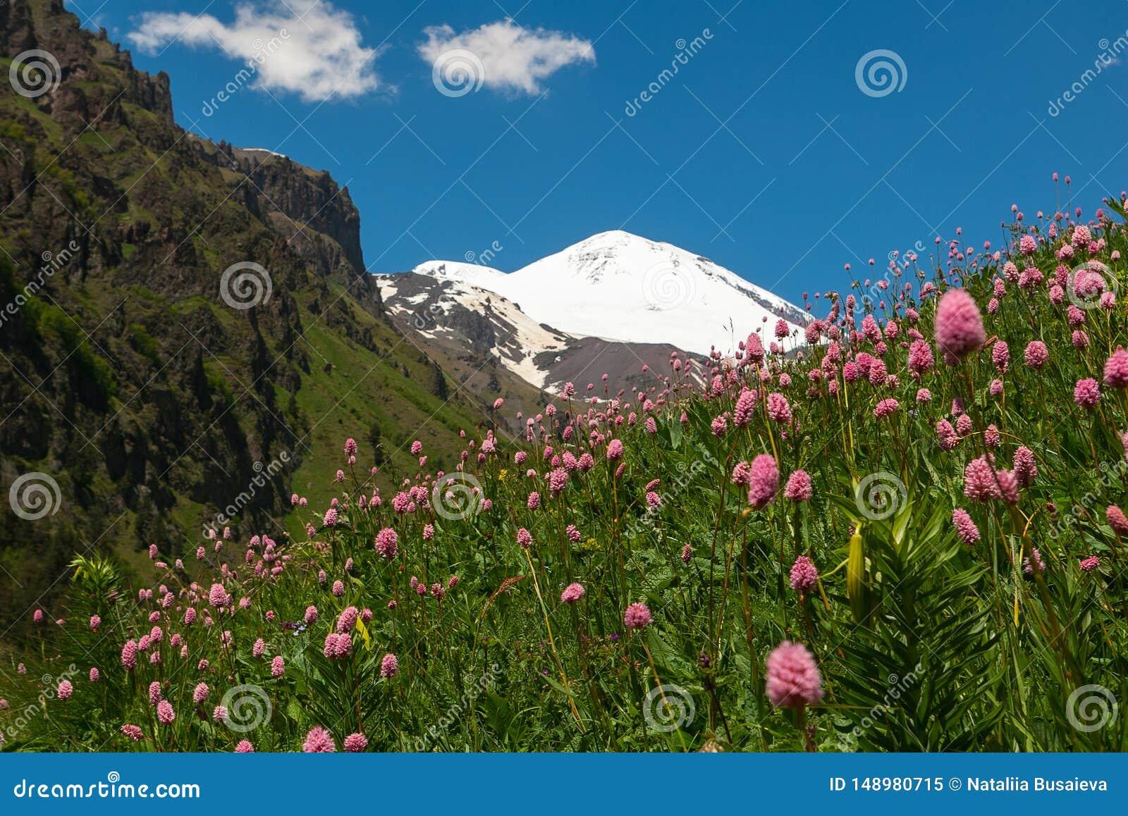 Paysage avec le pré des fleurs roses en premier plan et mont Elbrouz à l arrière-plan Vue du mont Elbrouz des sud