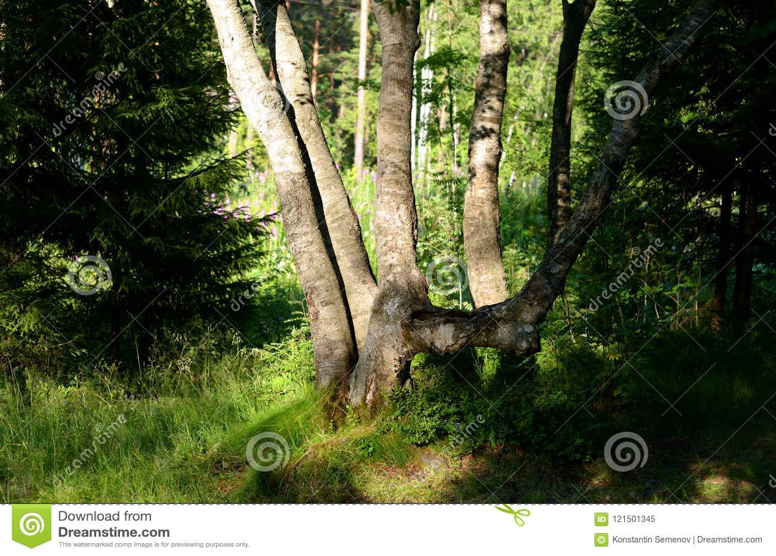 Paysage d été dans la forêt