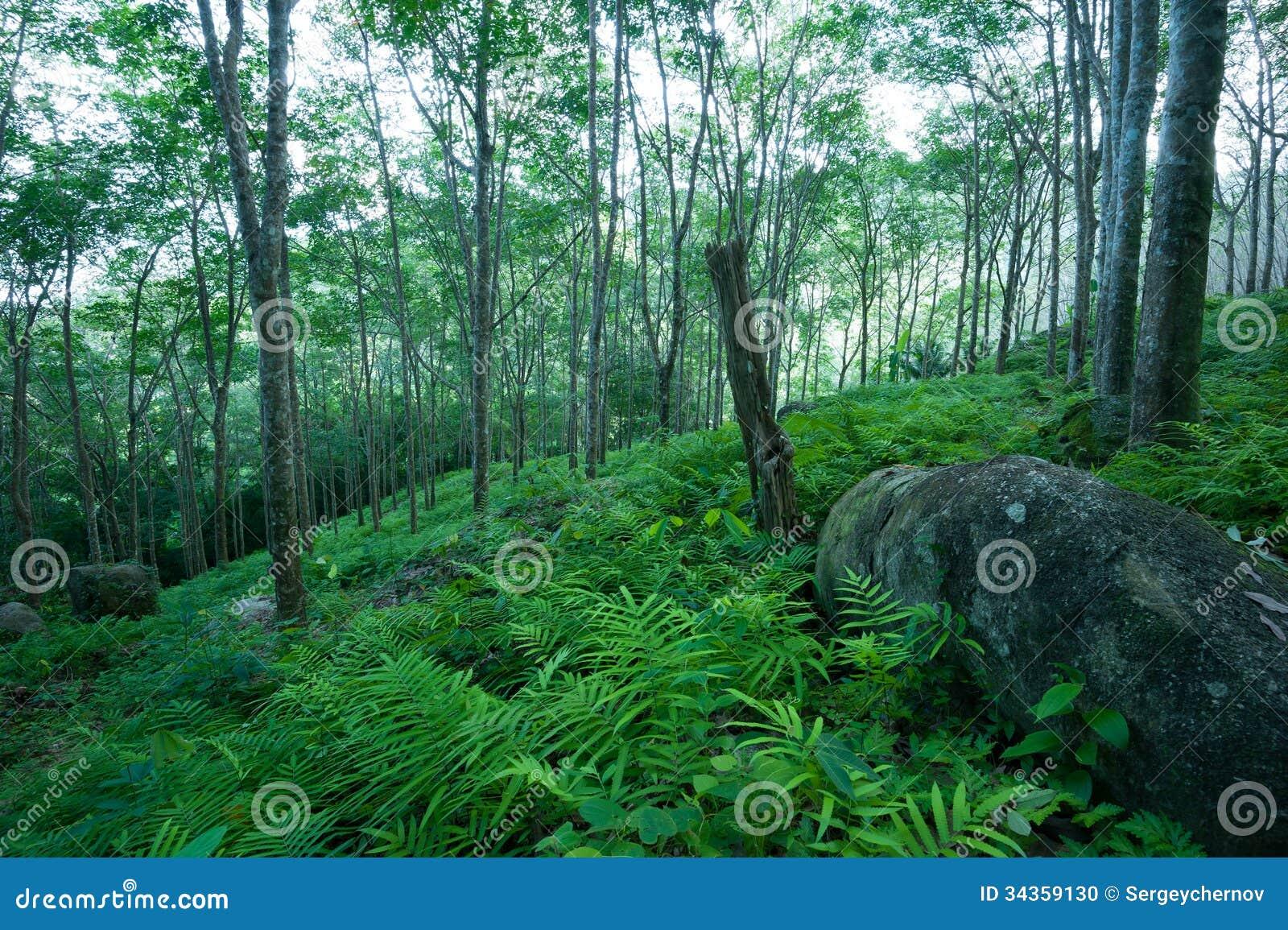 Paysage d 39 arbres forestiers plantation d 39 arbre en caoutchouc photo stock image 34359130 - Plantation d arbres synonyme ...