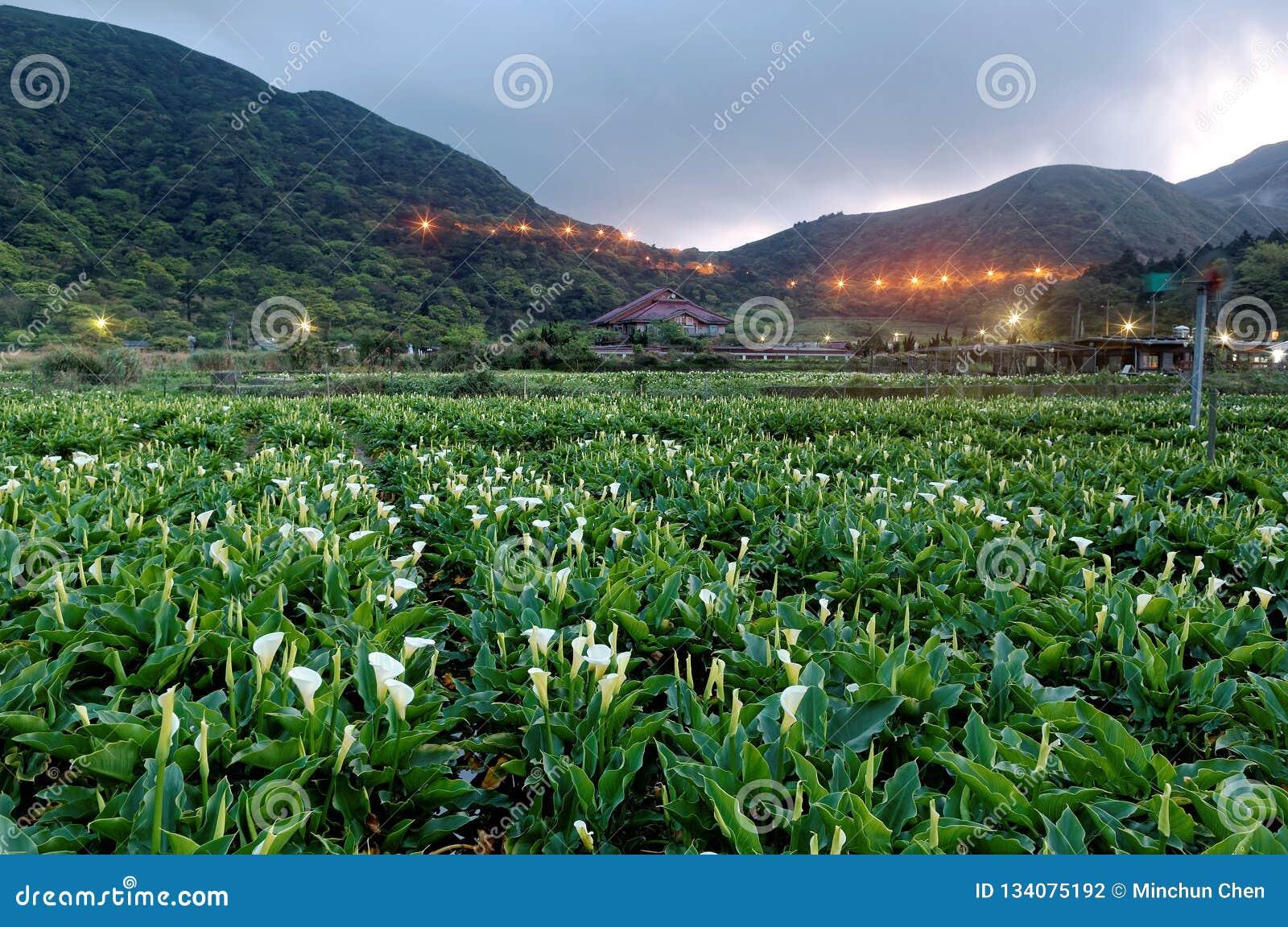 Paysage d aube d un gisement de fleur de zantedeschia, une ferme de touristes en parc national de Yangmingshan à Taïpeh suburbain