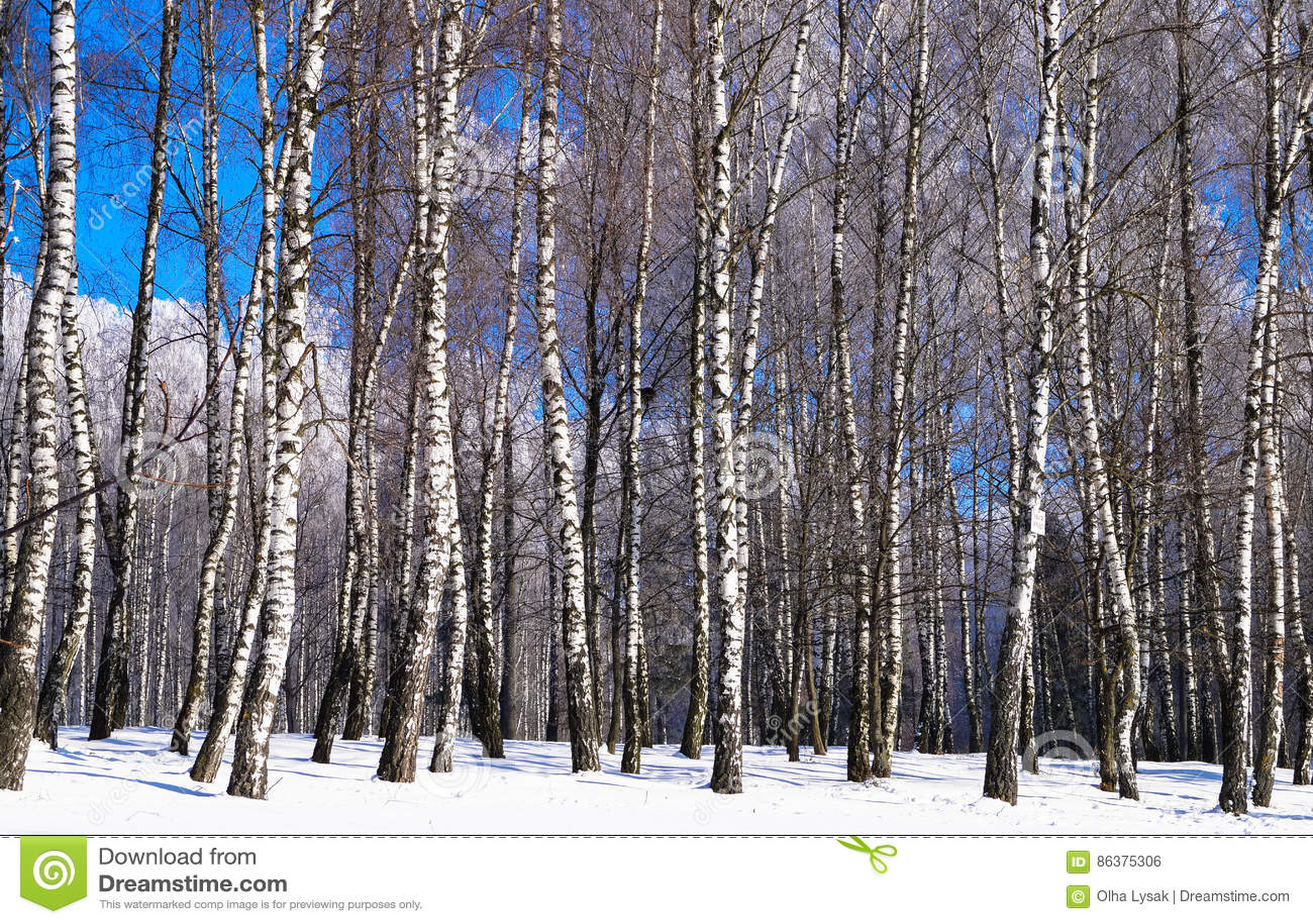 Paysage Dhiver Darbres De Bouleau Photo Stock Image Du