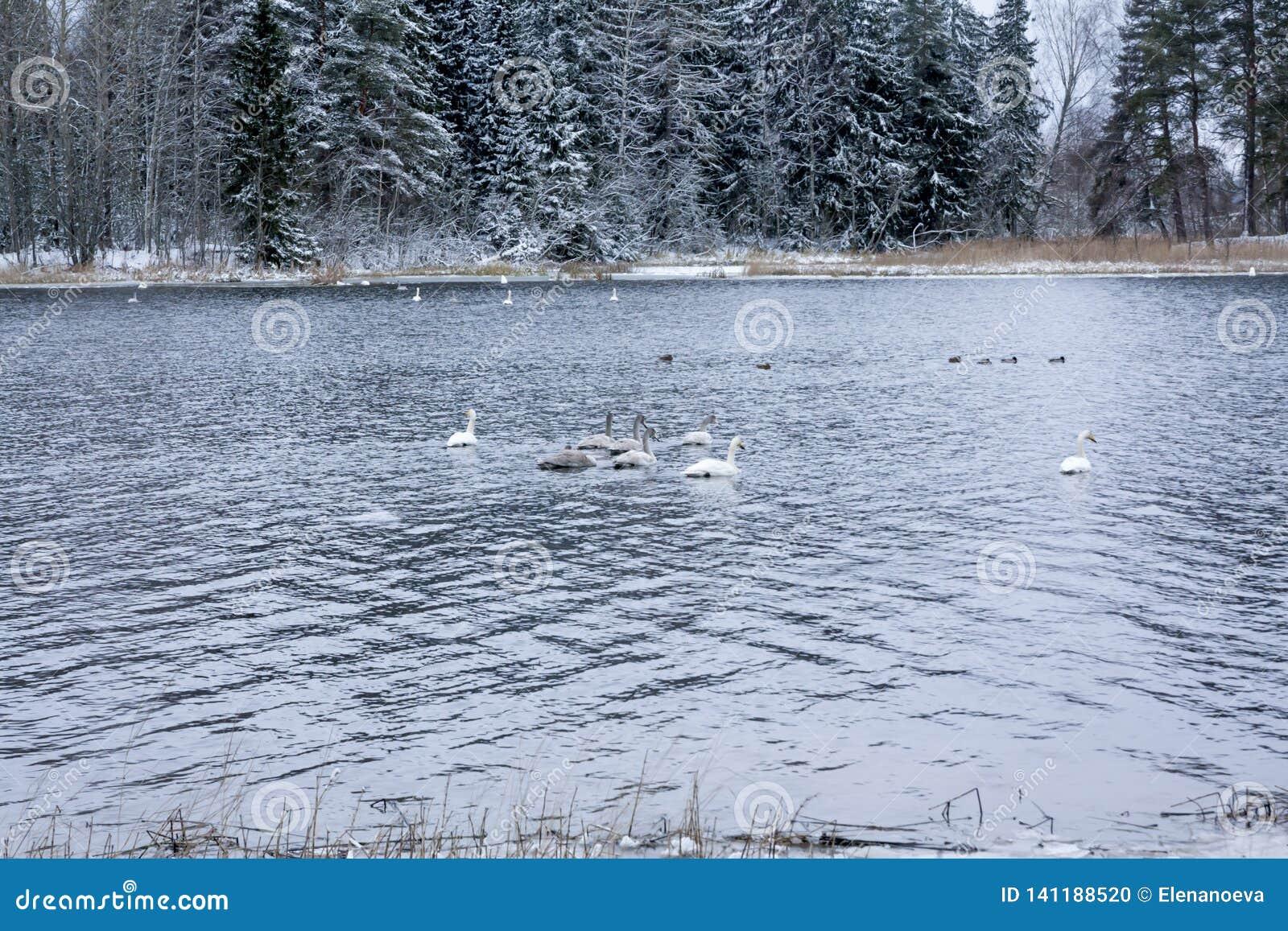 Paysage de calme d hiver sur une rivière avec cygnes blancs La Finlande, rivière Kymijoki