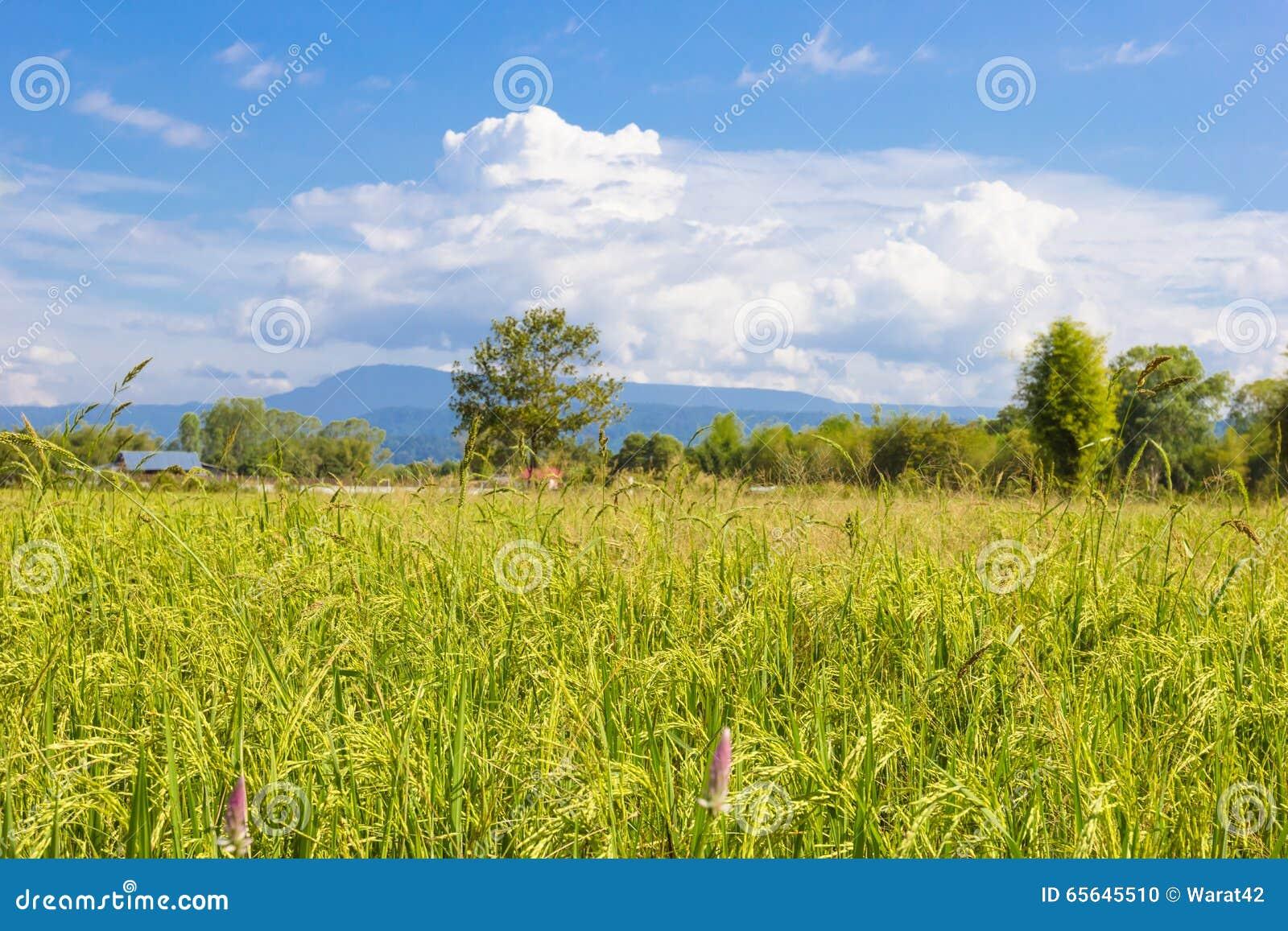 Paysage de champ de maïs de riz de ferme en Thaïlande