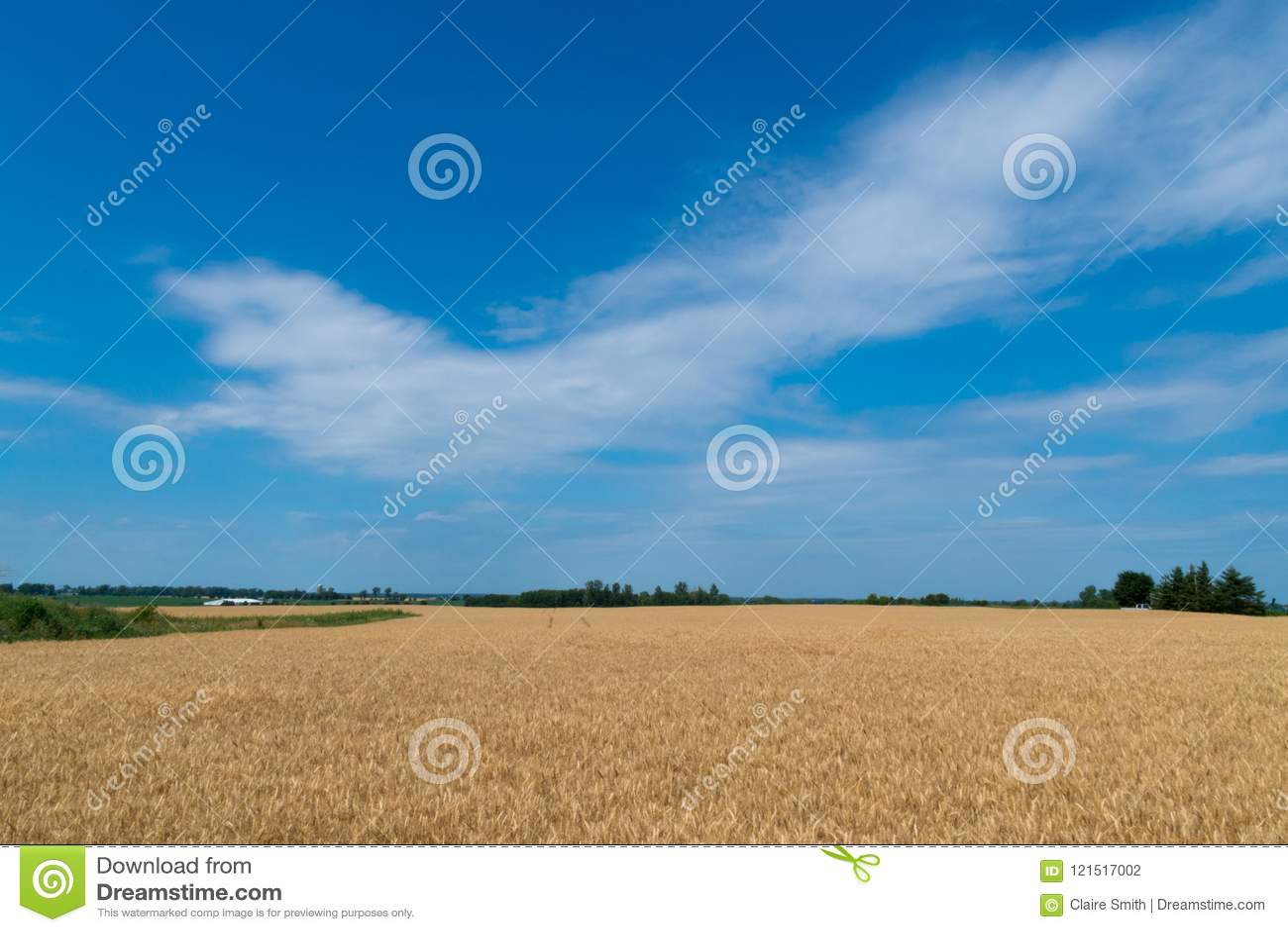 Paysage de champ de maïs mûr avec le ciel bleu et de whitespace pour le tex