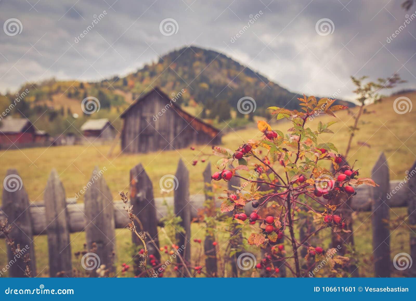 Paysage de paysage d automne avec la forêt colorée, les granges en bois de barrières, de cynorrhodon et de foin dans Bucovina