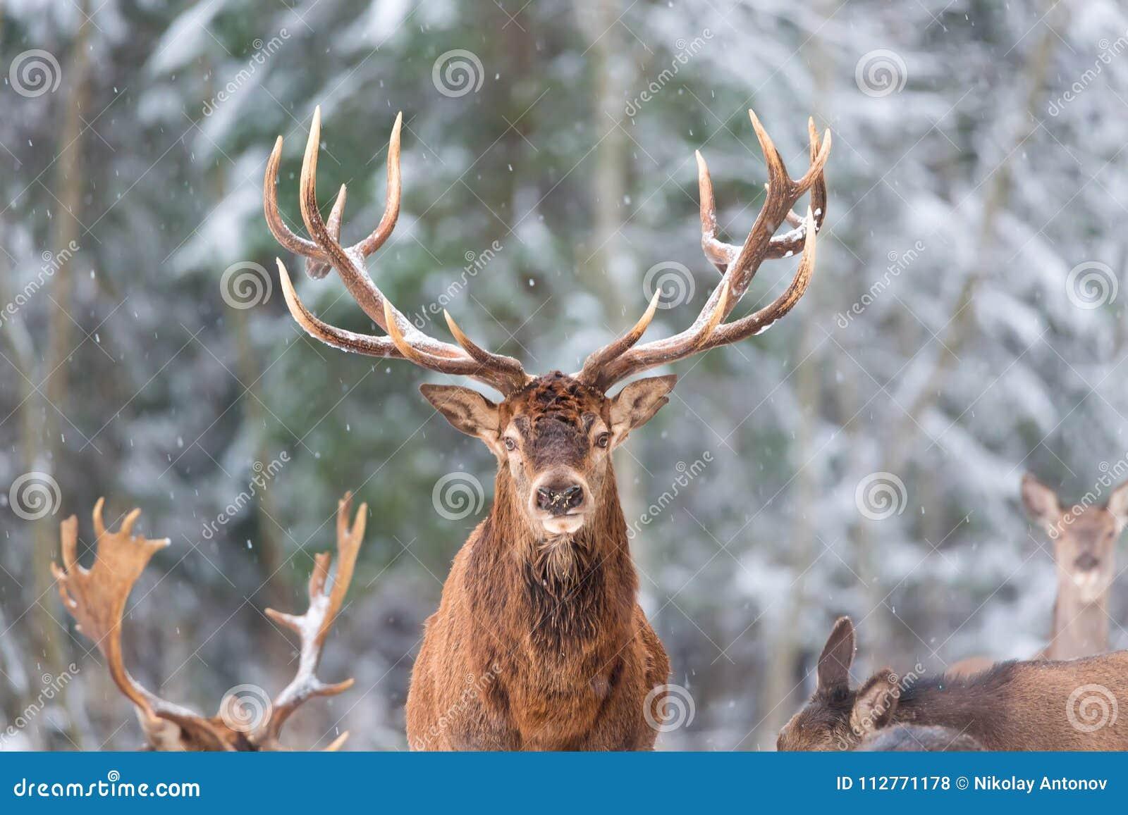 Paysage de faune d hiver avec le Cervus noble Elaphus de cerfs communs Cerfs communs avec de grands klaxons avec la neige sur le