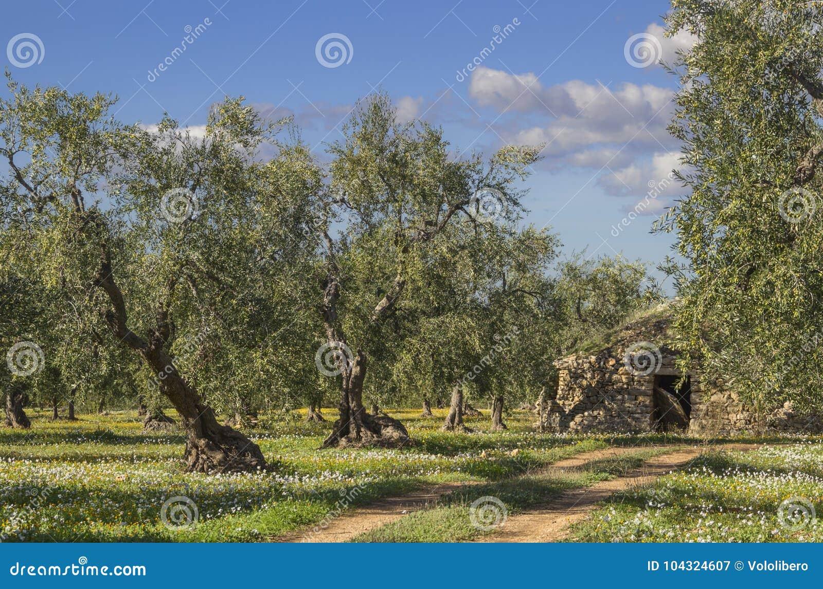 paysage de l 39 italie campagne de pouilles champ fleuri avec les oliviers et le trullo image. Black Bedroom Furniture Sets. Home Design Ideas
