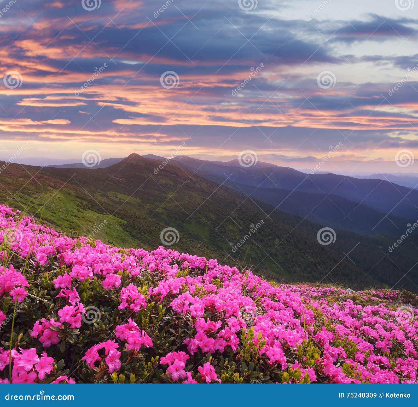 paysage de montagne avec les fleurs roses au coucher du soleil image stock image du nature. Black Bedroom Furniture Sets. Home Design Ideas