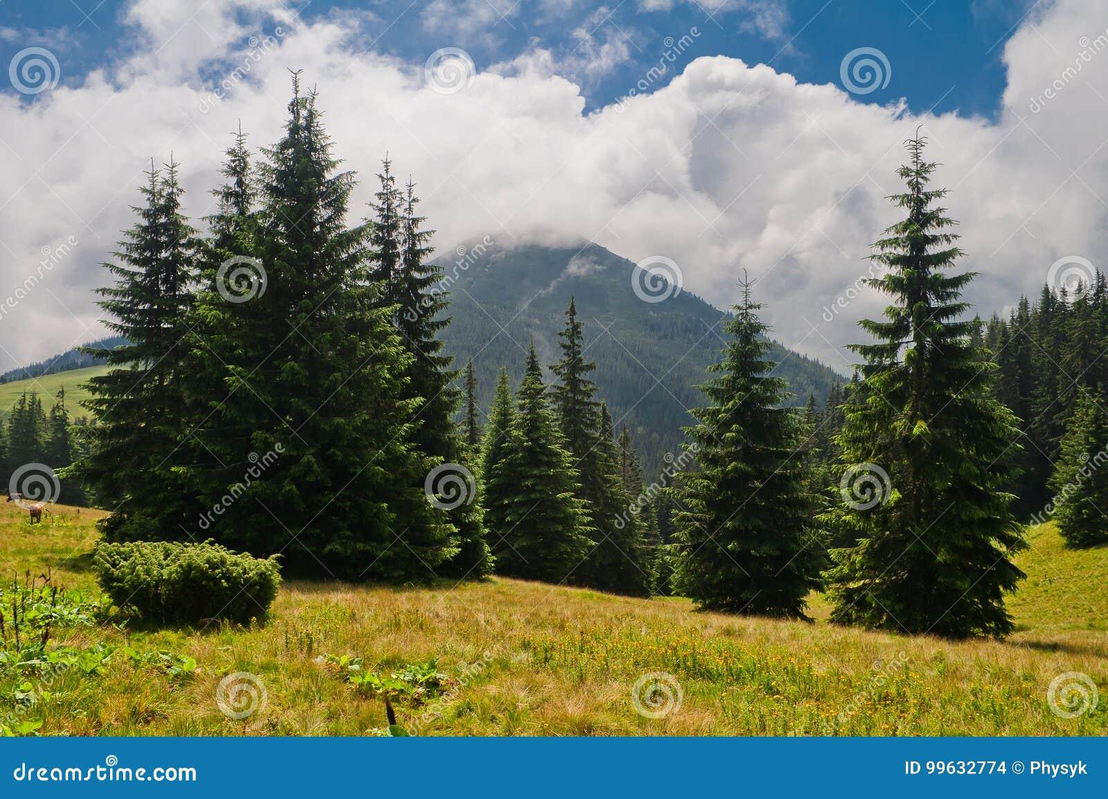 Paysage de montagne d été avec le sapin et la montagne couverts de clo