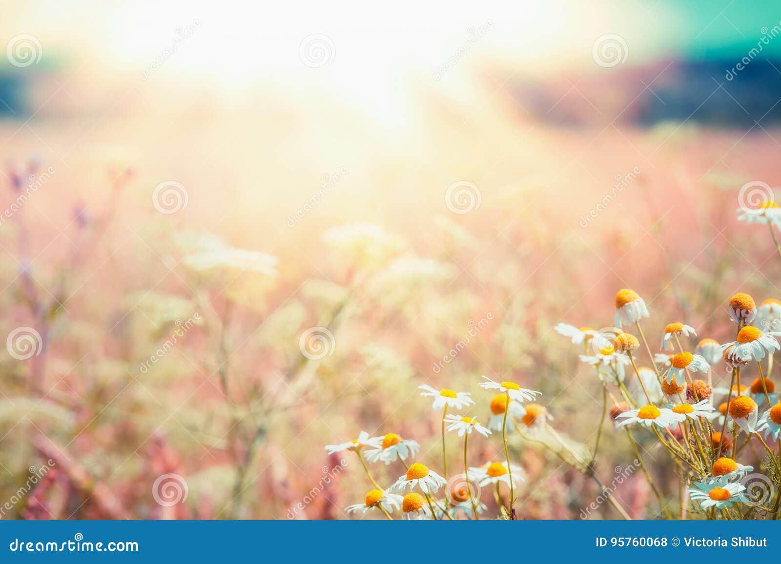 Paysage de pays de fin d été avec le pré de marguerites et rayon de soleil, bel été extérieur