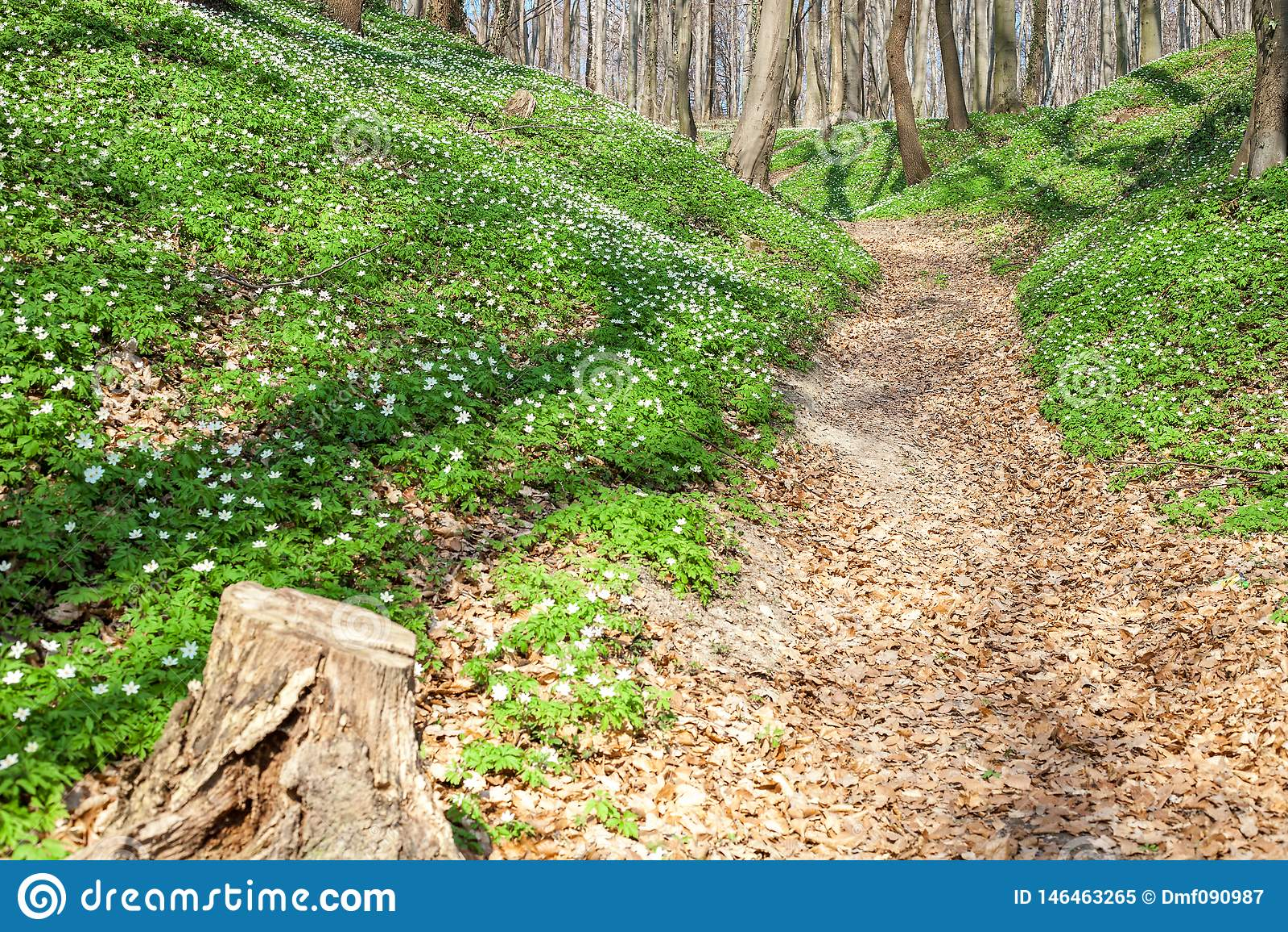 Paysage de ressort avec le sentier pi?ton de for?t et l an?mone blanche en bois de fleurs sauvages