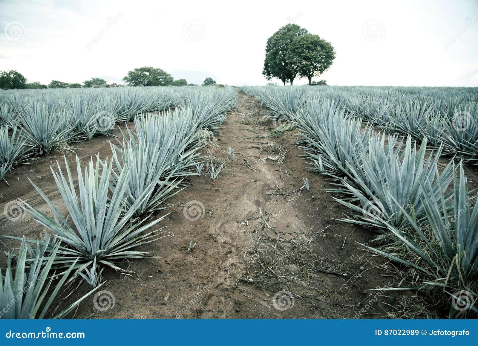 Paysage de tequila d agave vers Guadalajara, Jalisco,