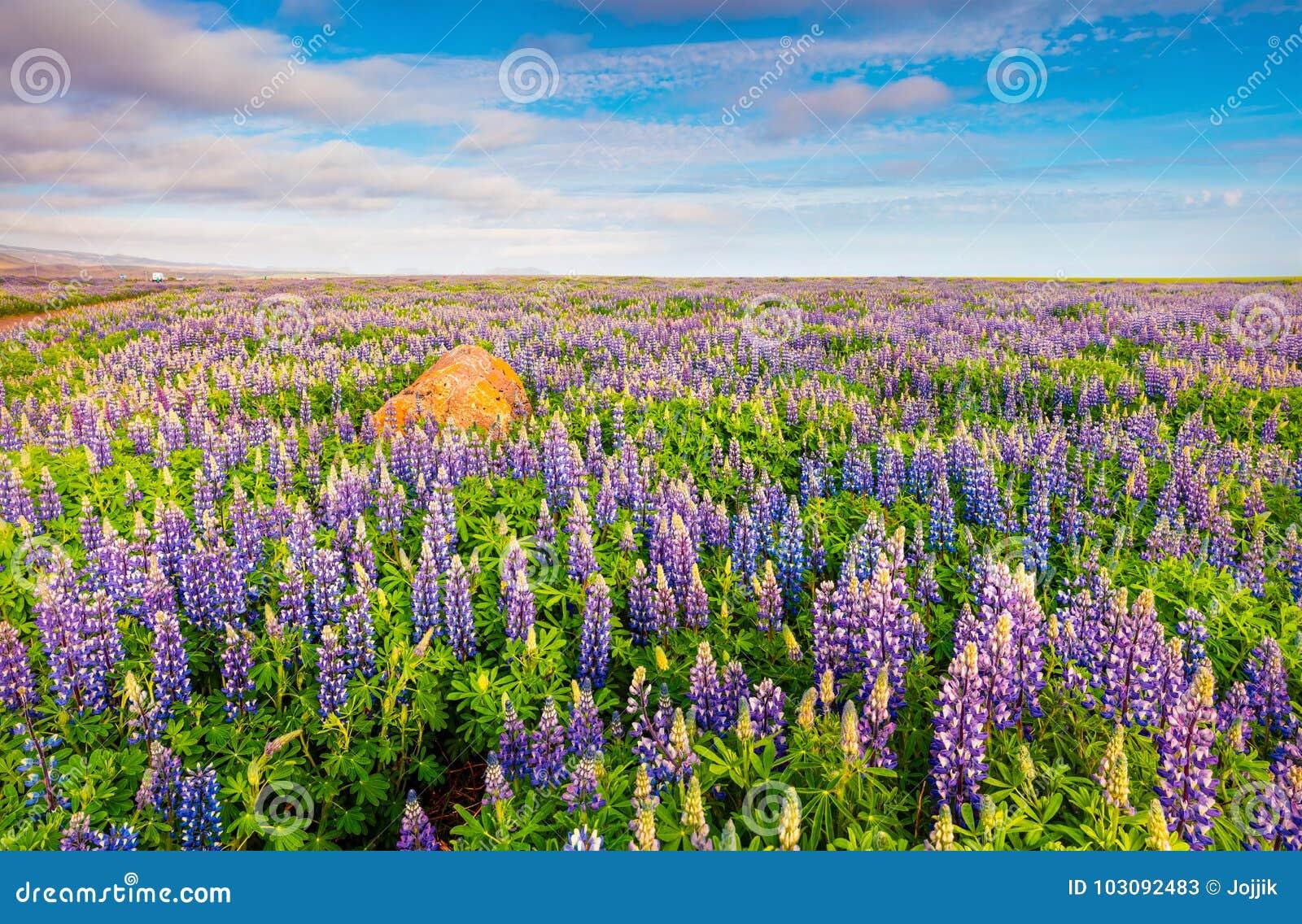 Paysage Islandais Typique Avec Le Champ De La Fleur De Loup De