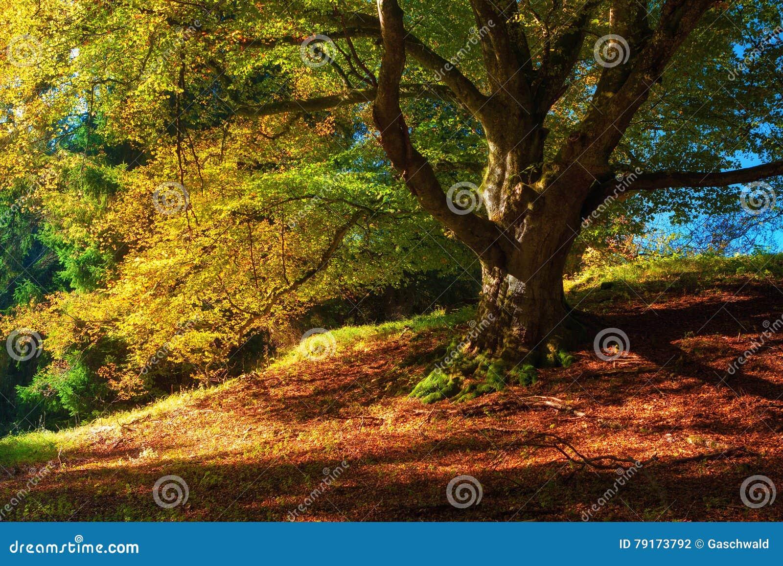 Paysage magique d automne avec les feuilles tombées colorées, le vieil arbre dans la forêt d or et le x28 ; harmonie, relaxation