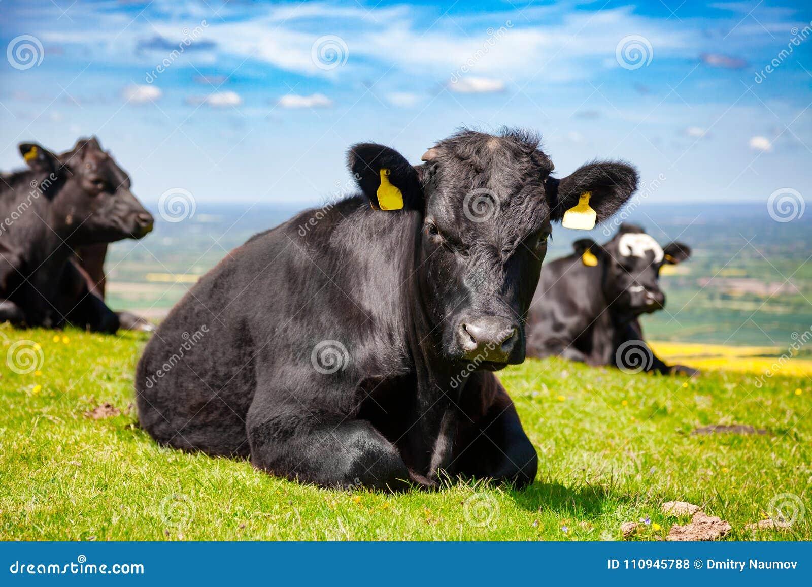 Paysage rural anglais dedans avec frôler le catt de boeuf d Aberdeen Angus