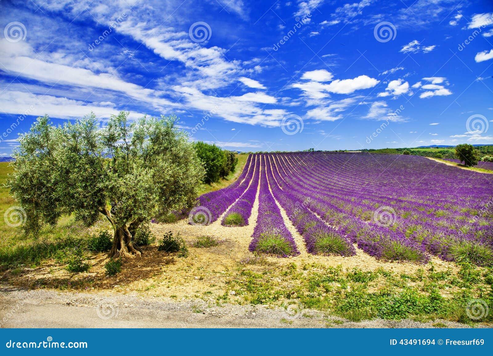 Paysage sc nique de la provence avec le lavande de floraison photo stock image 43491694 - Floraison de la lavande ...