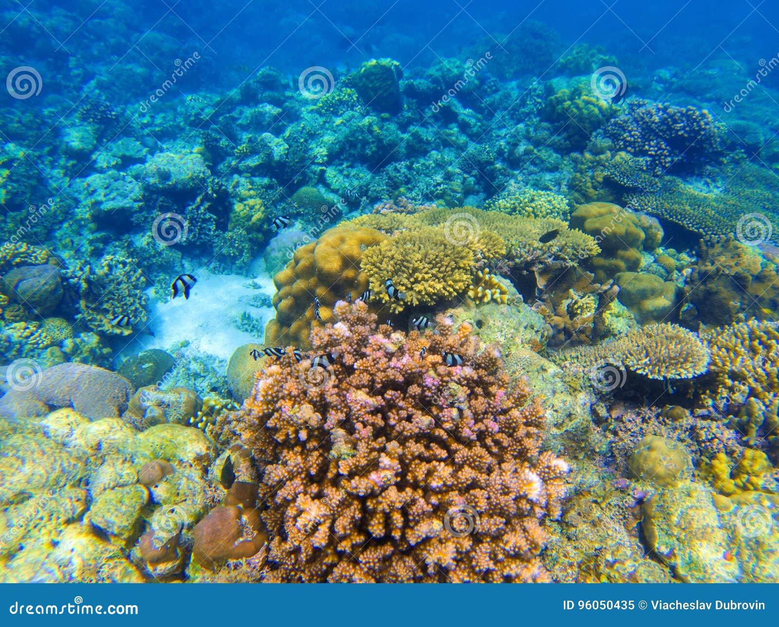 Paysage sous-marin avec le récif coralien rouge Écosystème de corail divers