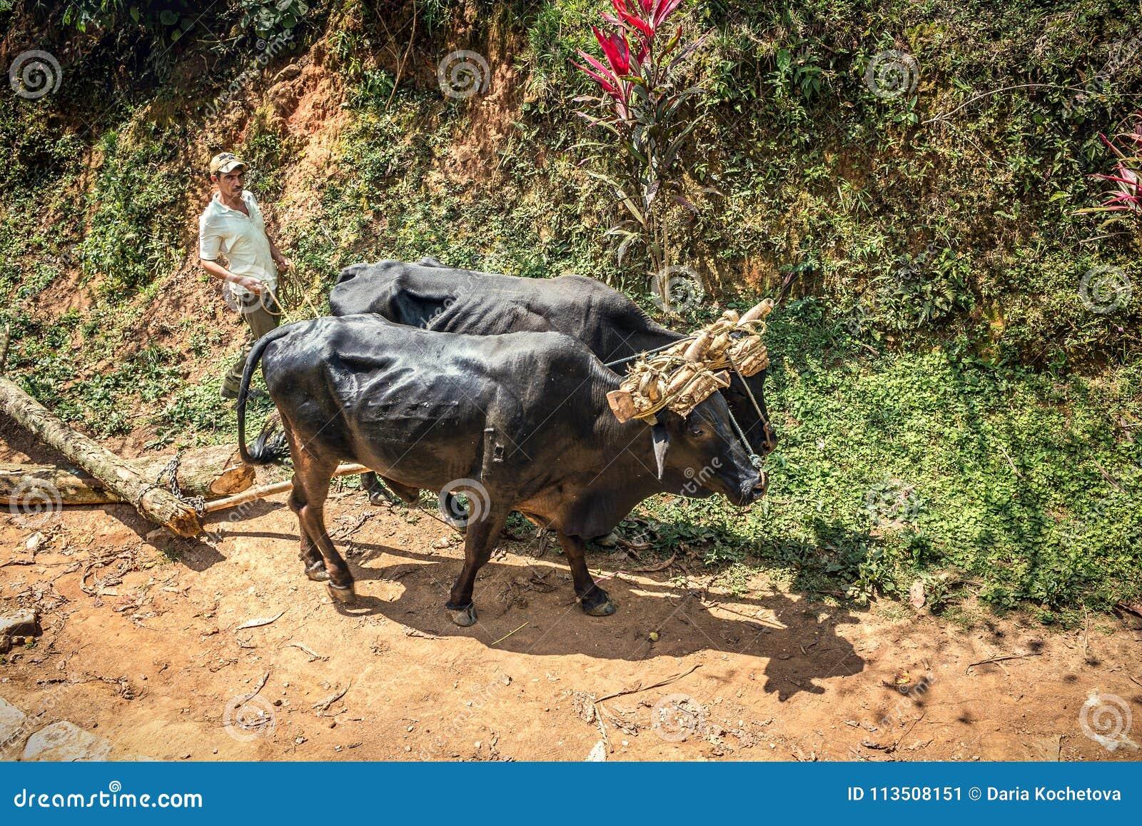 Paysan cubain avec deux taureaux