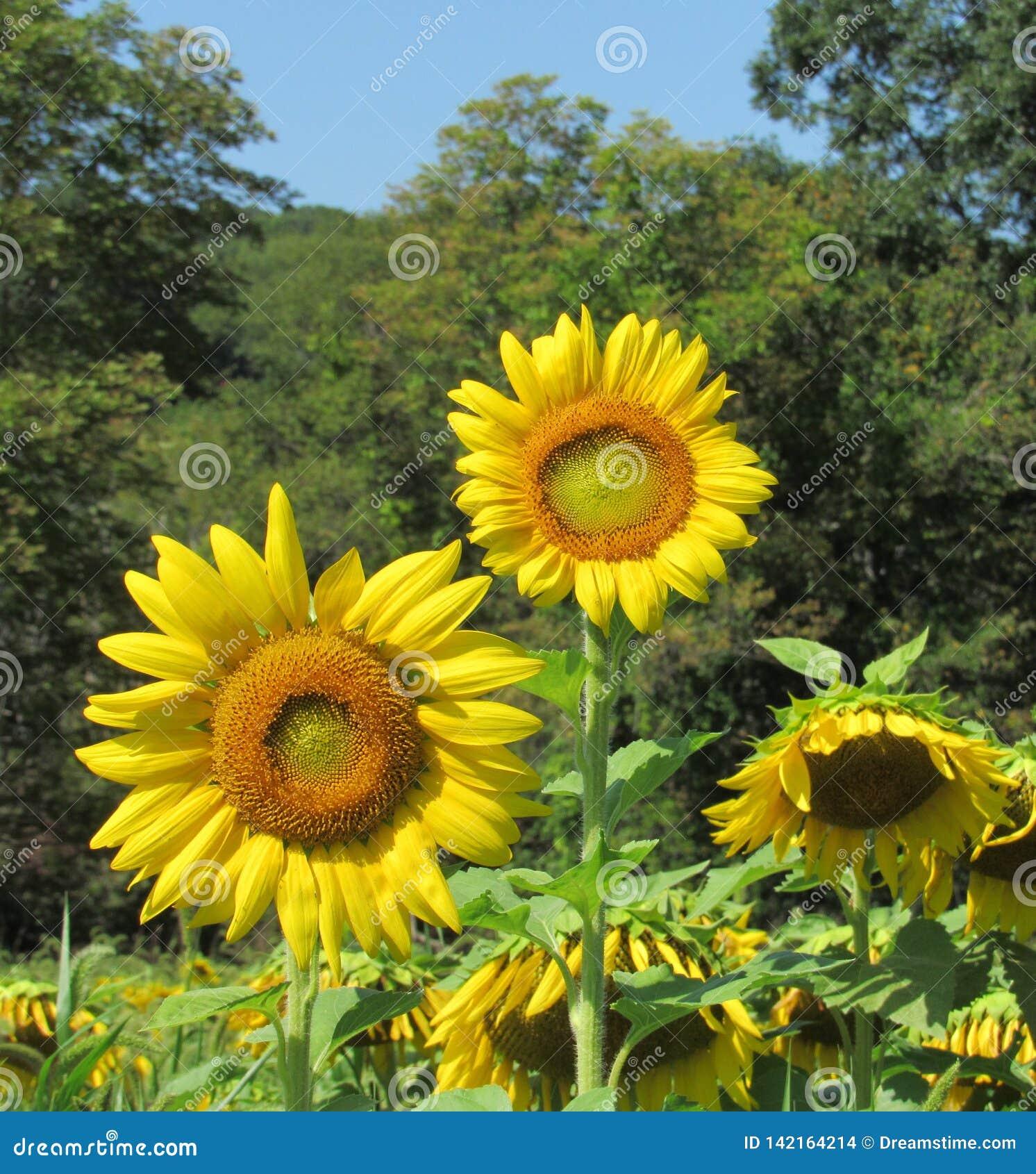 Pełni wzrostów słoneczniki w polu