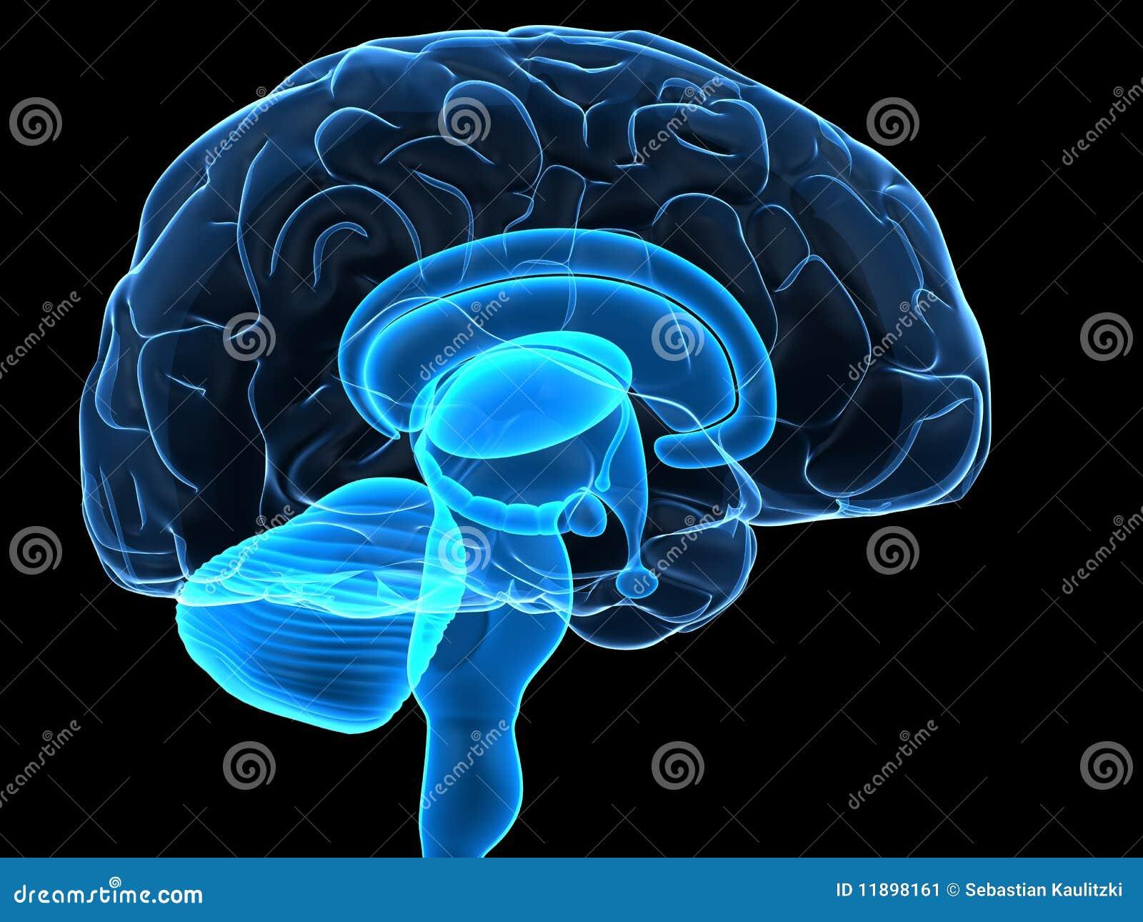 Peças do cérebro humano