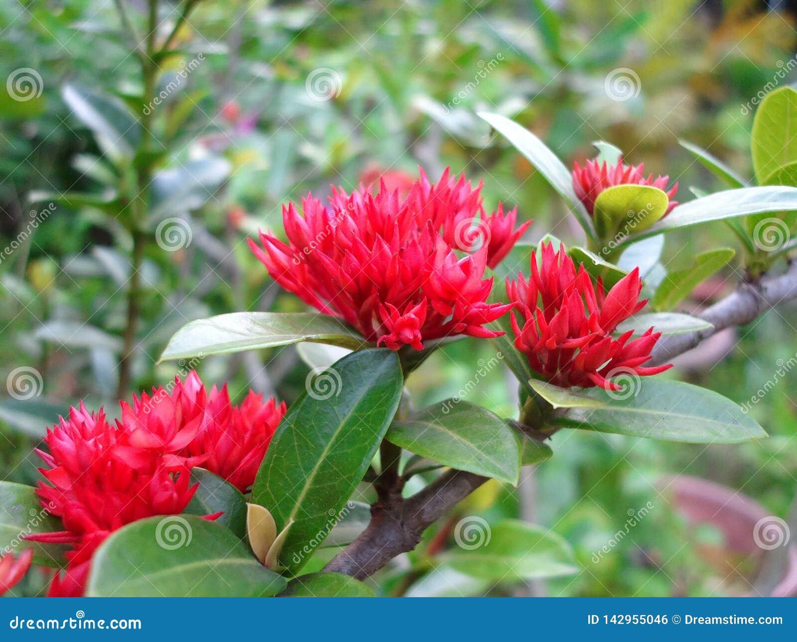 Peônia, árvore tradicional, medicina