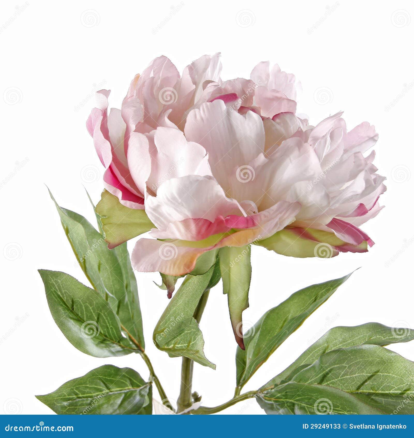 Download Peônia Cor-de-rosa Isolada No Branco Imagem de Stock - Imagem de romântico, data: 29249133