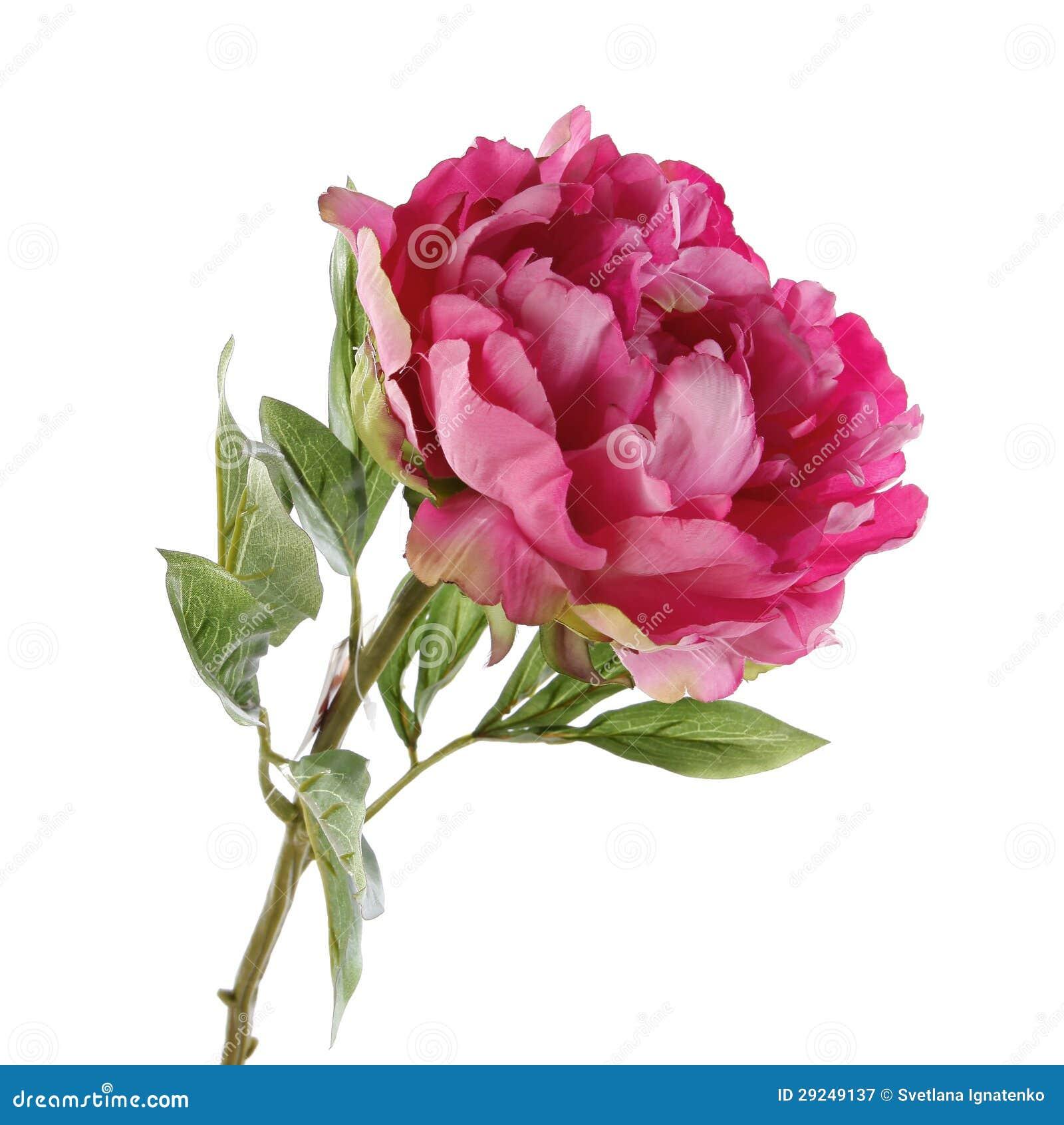 Download Peônia Cor-de-rosa Isolada No Branco Imagem de Stock - Imagem de evento, verde: 29249137