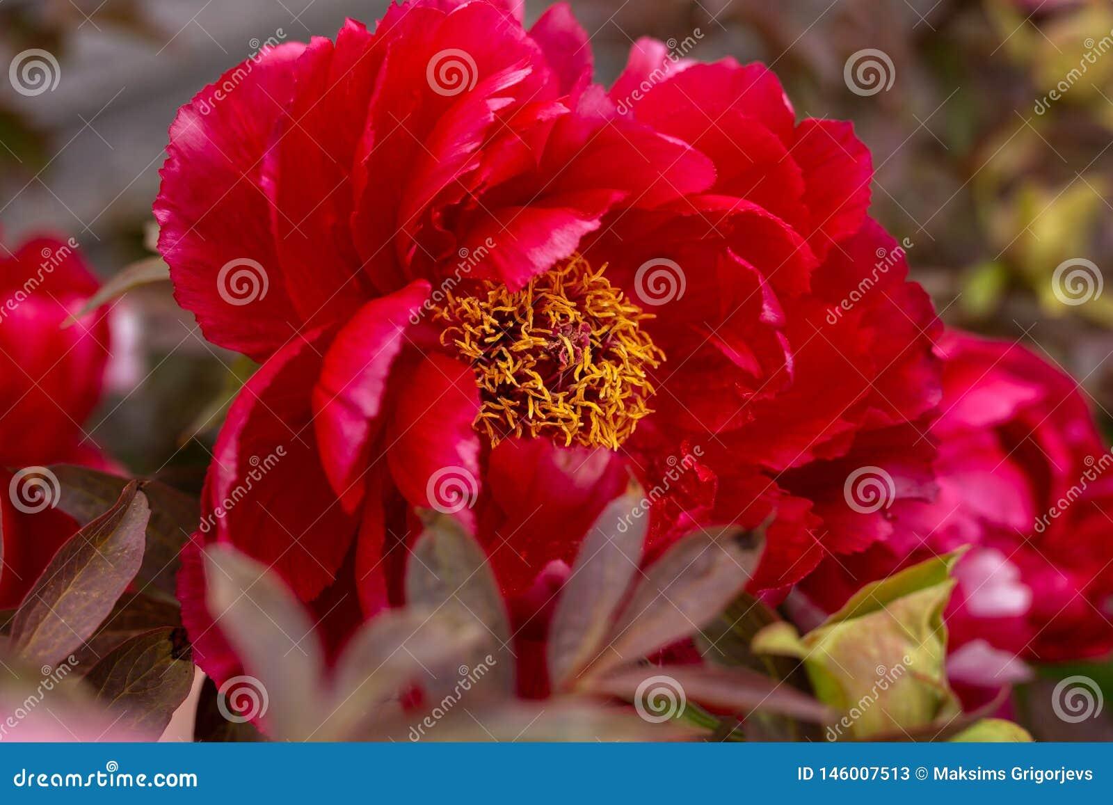Peônia híbrida vermelha de Itoh que floresce no jardim da mola