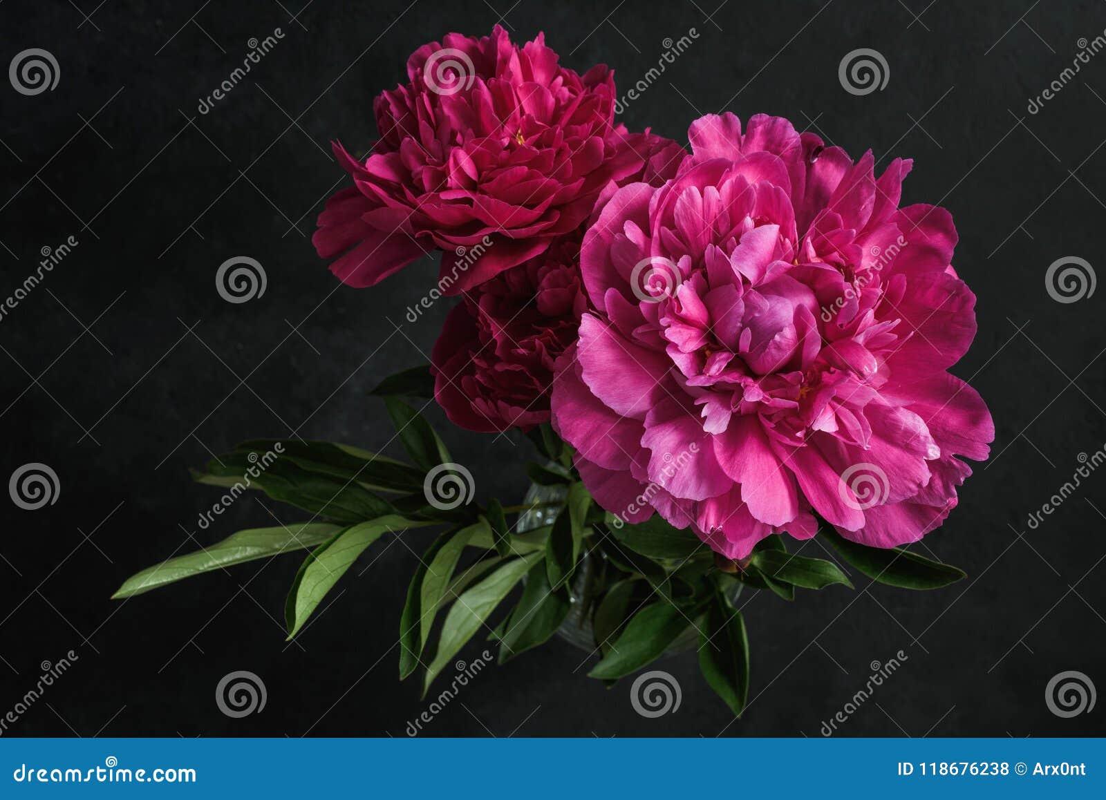 Peônias cor-de-rosa bonitas no fundo escuro Ainda vida floral