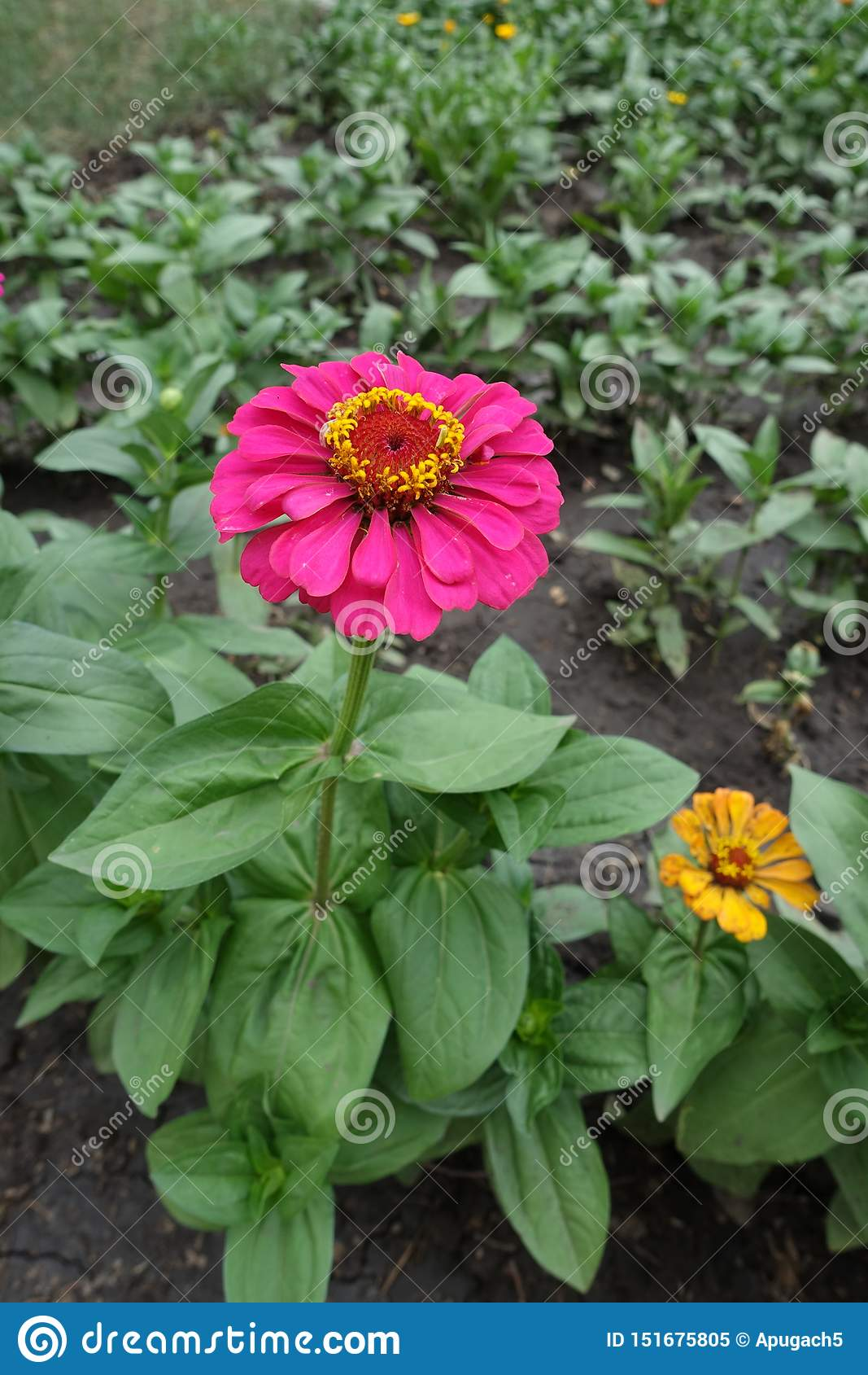 Pełny długość widok cynie z barwiącym kwiatem