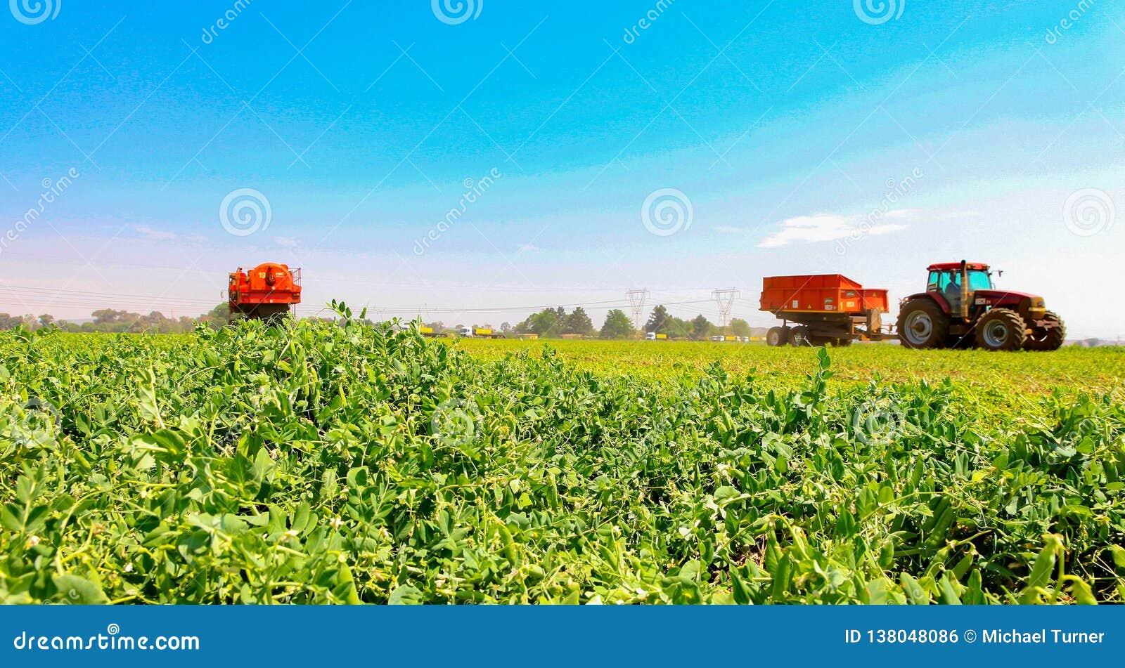 Pea Farming comercial com uma ceifeira de liga