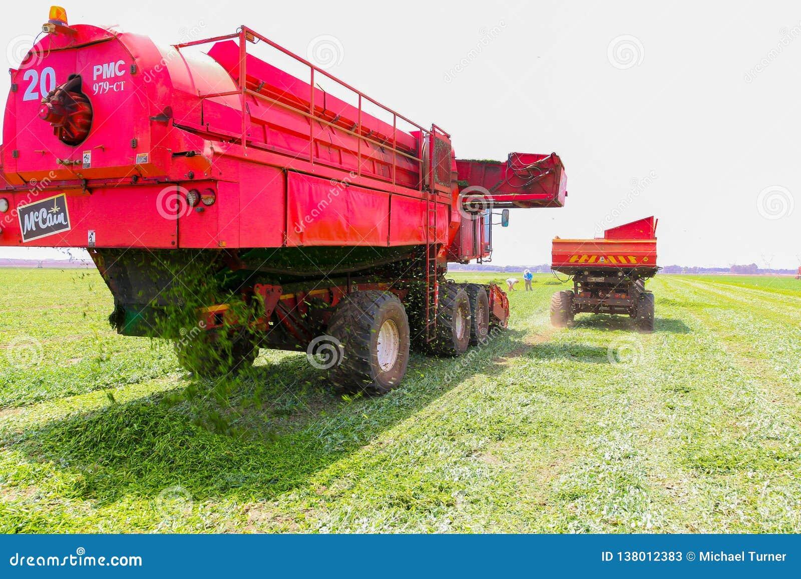 Pea Farming comercial con una máquina segadora