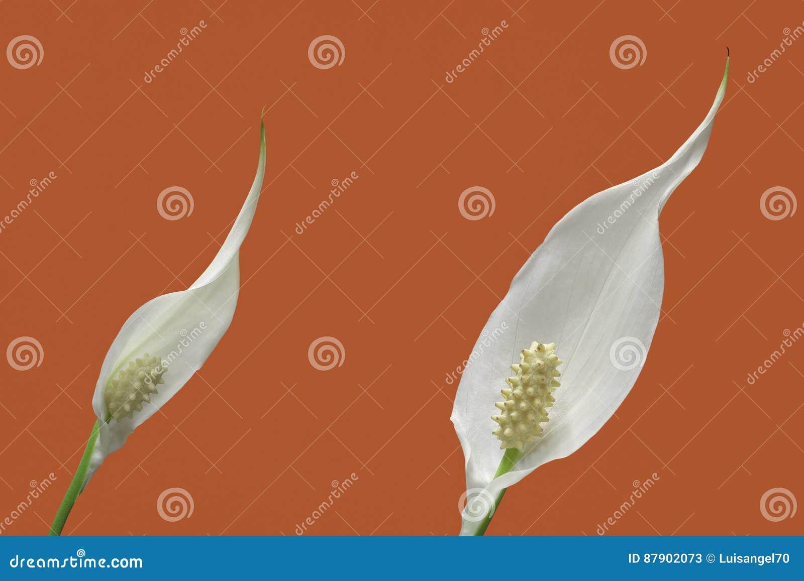 Peace lily plant flowers stock image image of orange 87902073 download comp izmirmasajfo