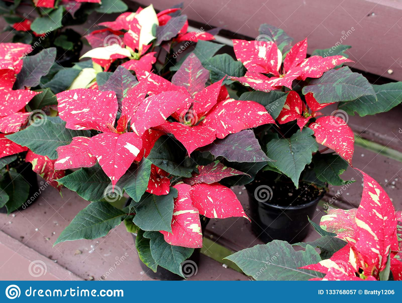 Peaceful Image Of Large Red White And Green Leaves With Yellow